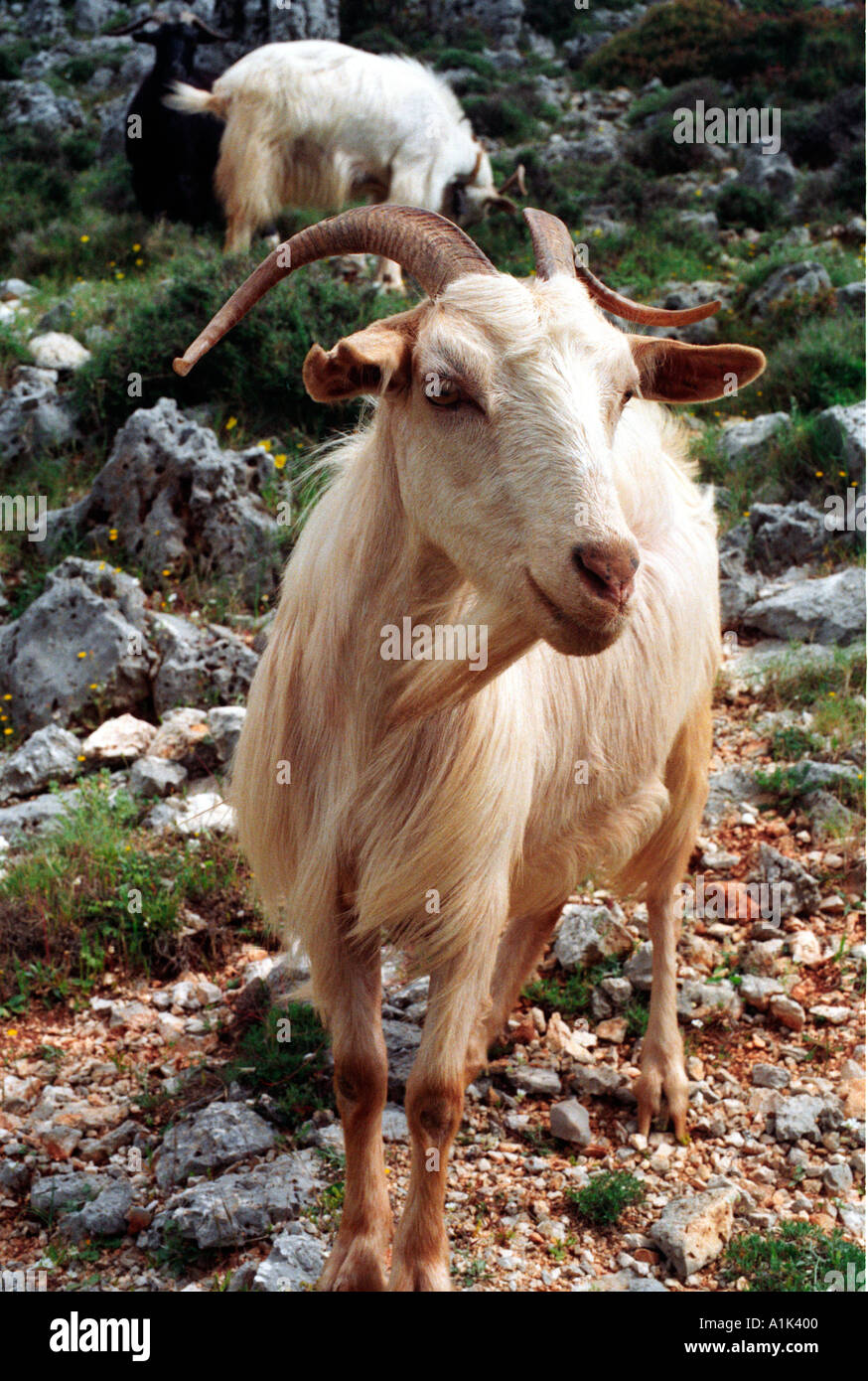 Goats clambering along the cliffs on the west coast of Kefalonia the Greek Island where Captain Corelli was filmed. - Stock Image