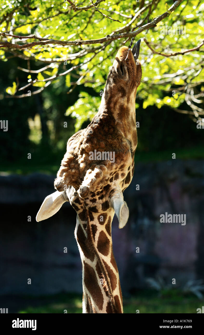 Reticulated Giraffe stretching neck and tounge eating from high tree branches - Stock Image