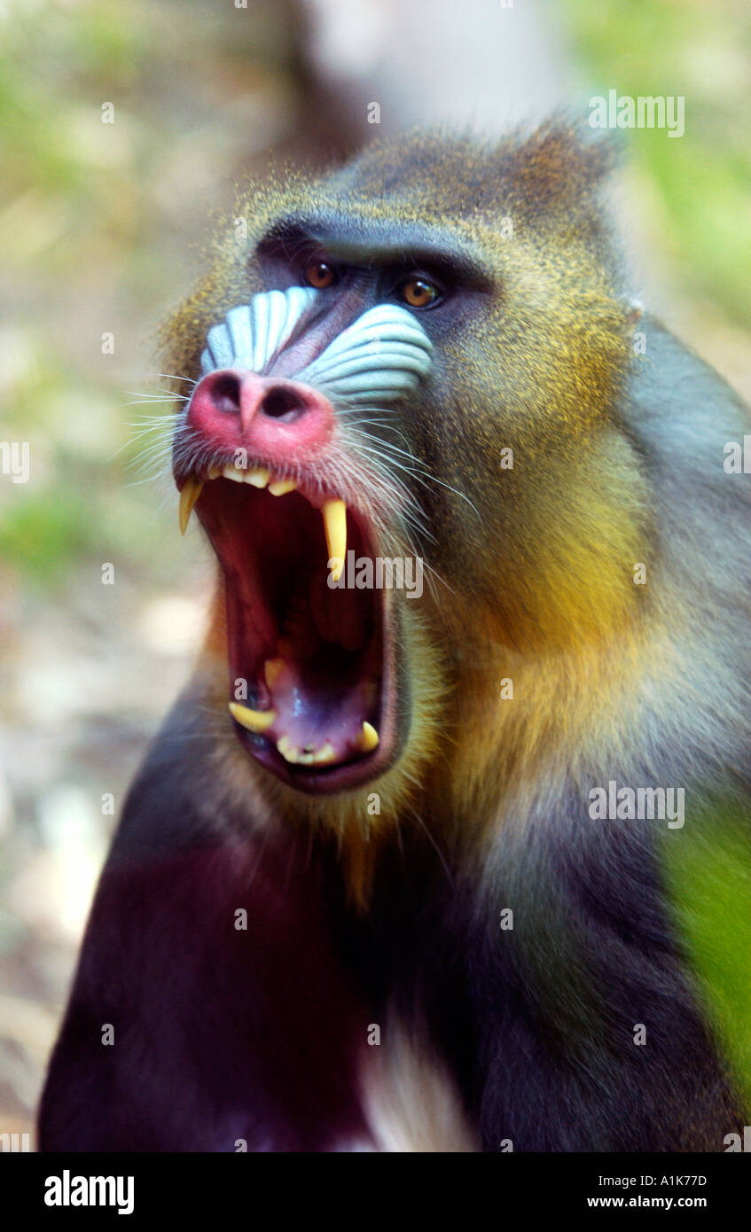 Mandrill showing its teeth - Stock Image