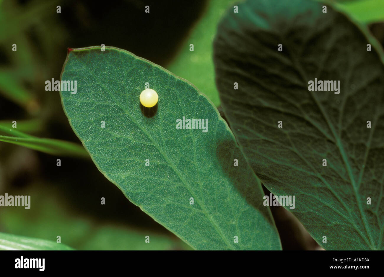 Egg of Swallowtail (Papilio machaon) on clover, Germany - Stock Image