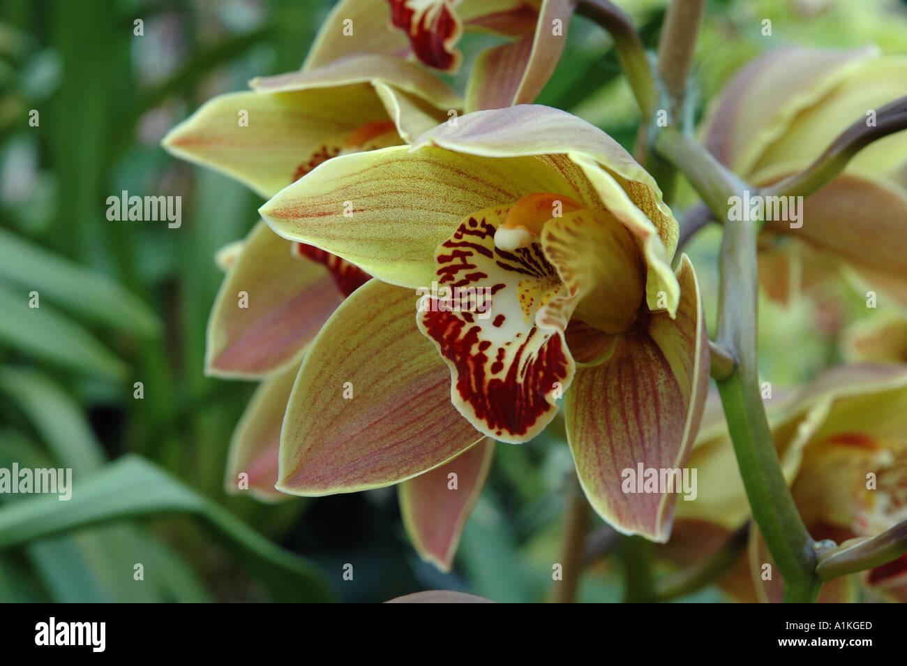 Cymbidium Sparkie Polychrome Tropical orchid flowers - Stock Image