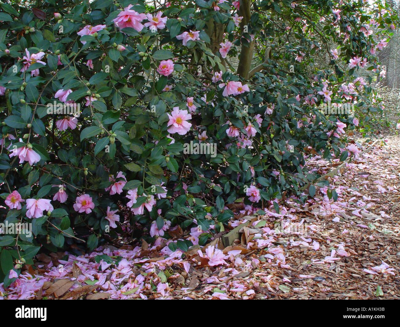 Camellia Showgirl Winter Spring Flowering Evergreen Shrub Stock