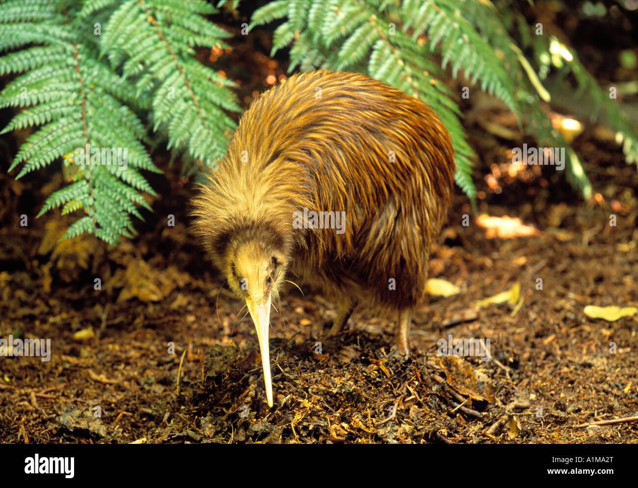 Kiwi bird, New Zealand - Stock Image