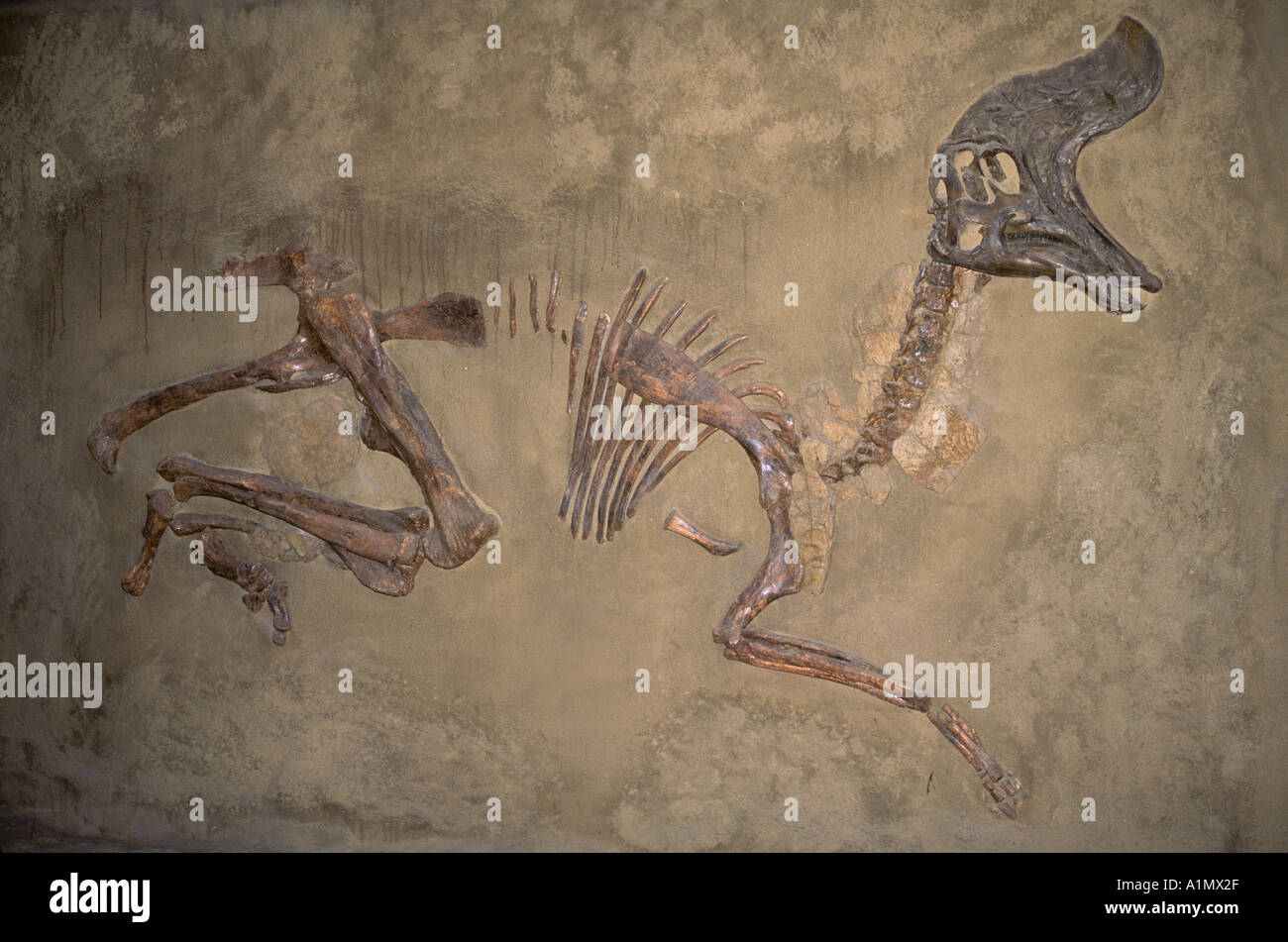 Dinosaur fossil of (Lambeosaurus cretaceous) Royal Tyrell Museum Drumheller Alberta Canada - Stock Image