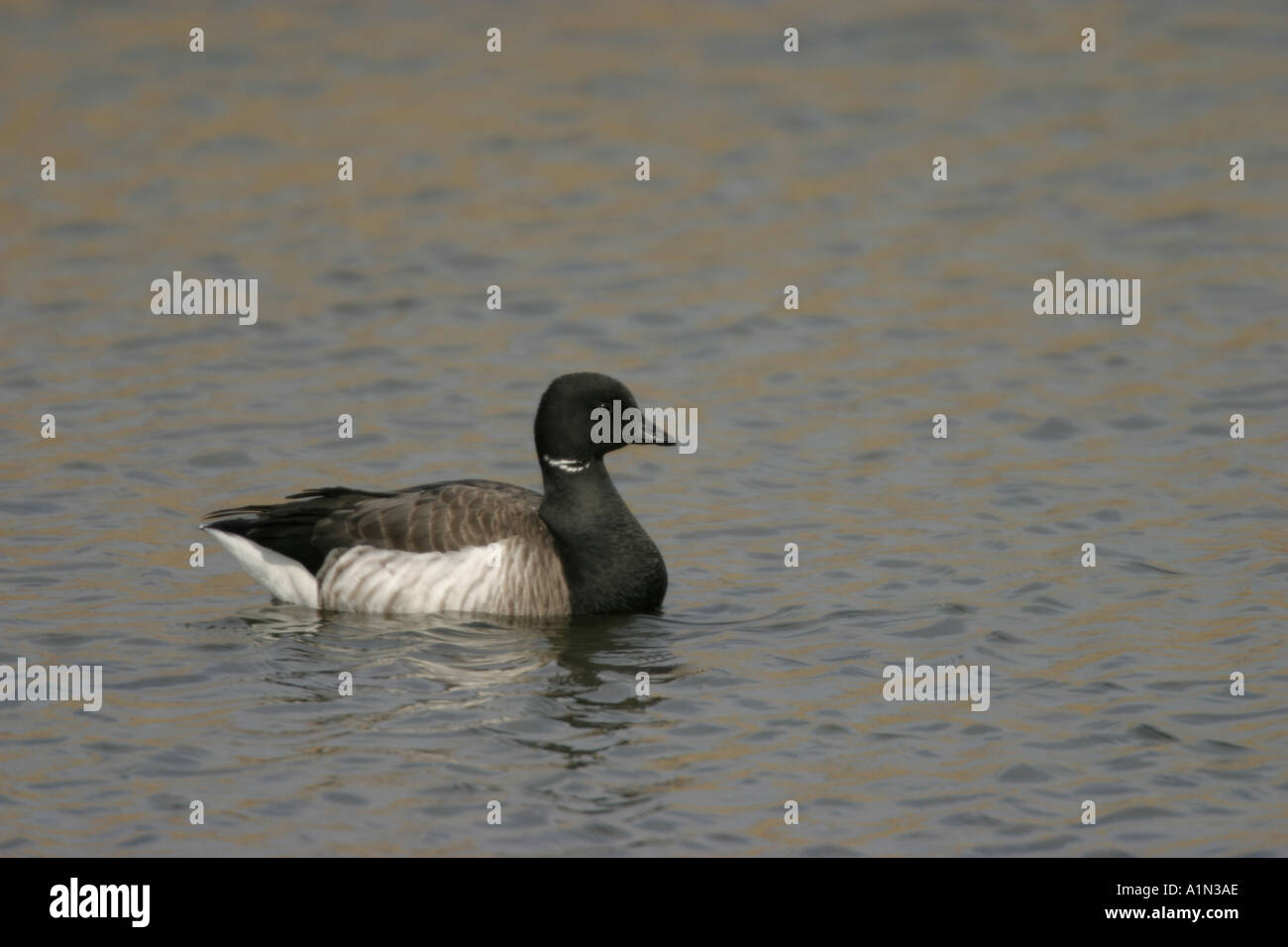 Brant member of the goose family which is almost exclusively coastal is found in flocks on shallow bays and marshes It s flight is usually low and fast with swept back wings - Stock Image