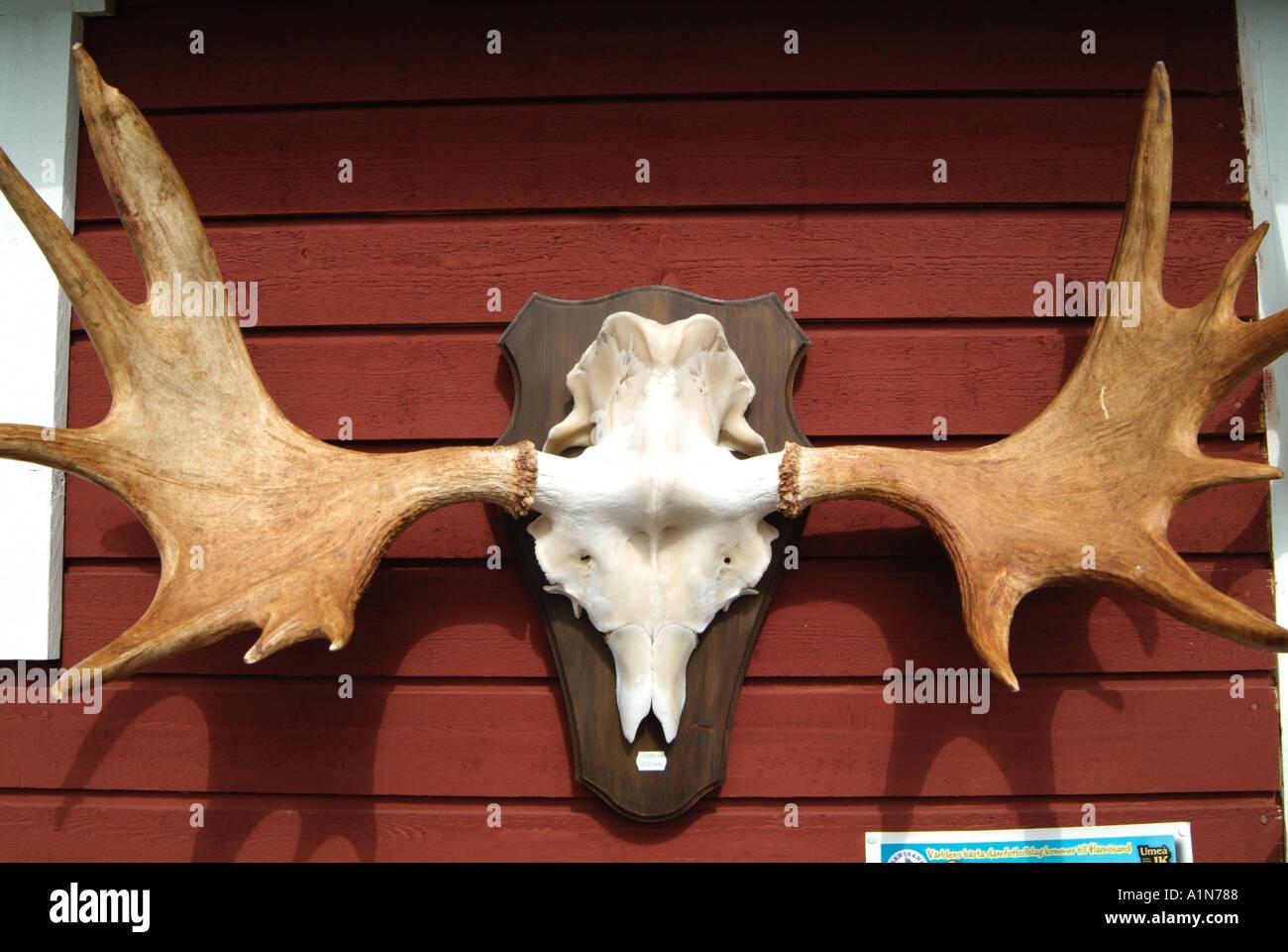 skull moose antler sweden forest native elk scandinavia big wild ...