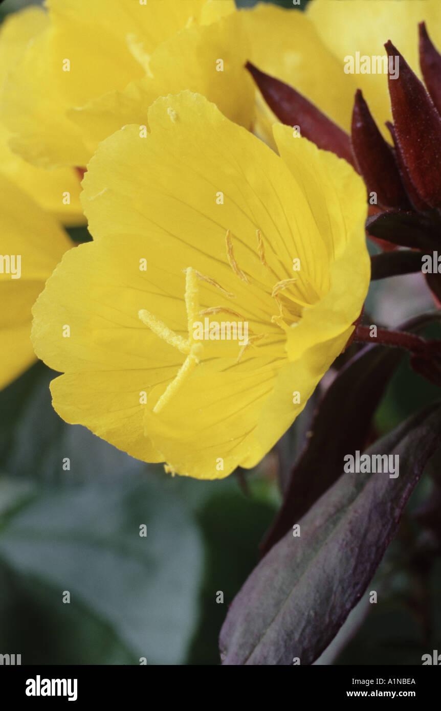 Oenothera fruticosa subsp  glauca  Evening primrose