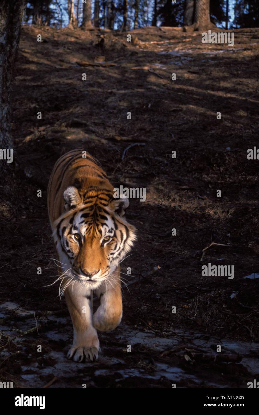 Siberian tiger Panthera tigris altaica endangered in the