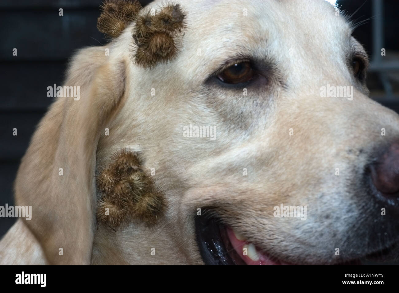 Burdock Burs On Yellow Lab Puppy Stock Photo 5888120 Alamy