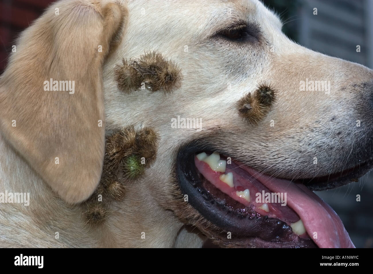 Burdock Burs On Yellow Lab Puppy Stock Photo 5888123 Alamy