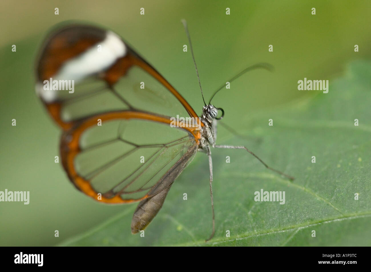 a glass wing butterlfy - Stock Image