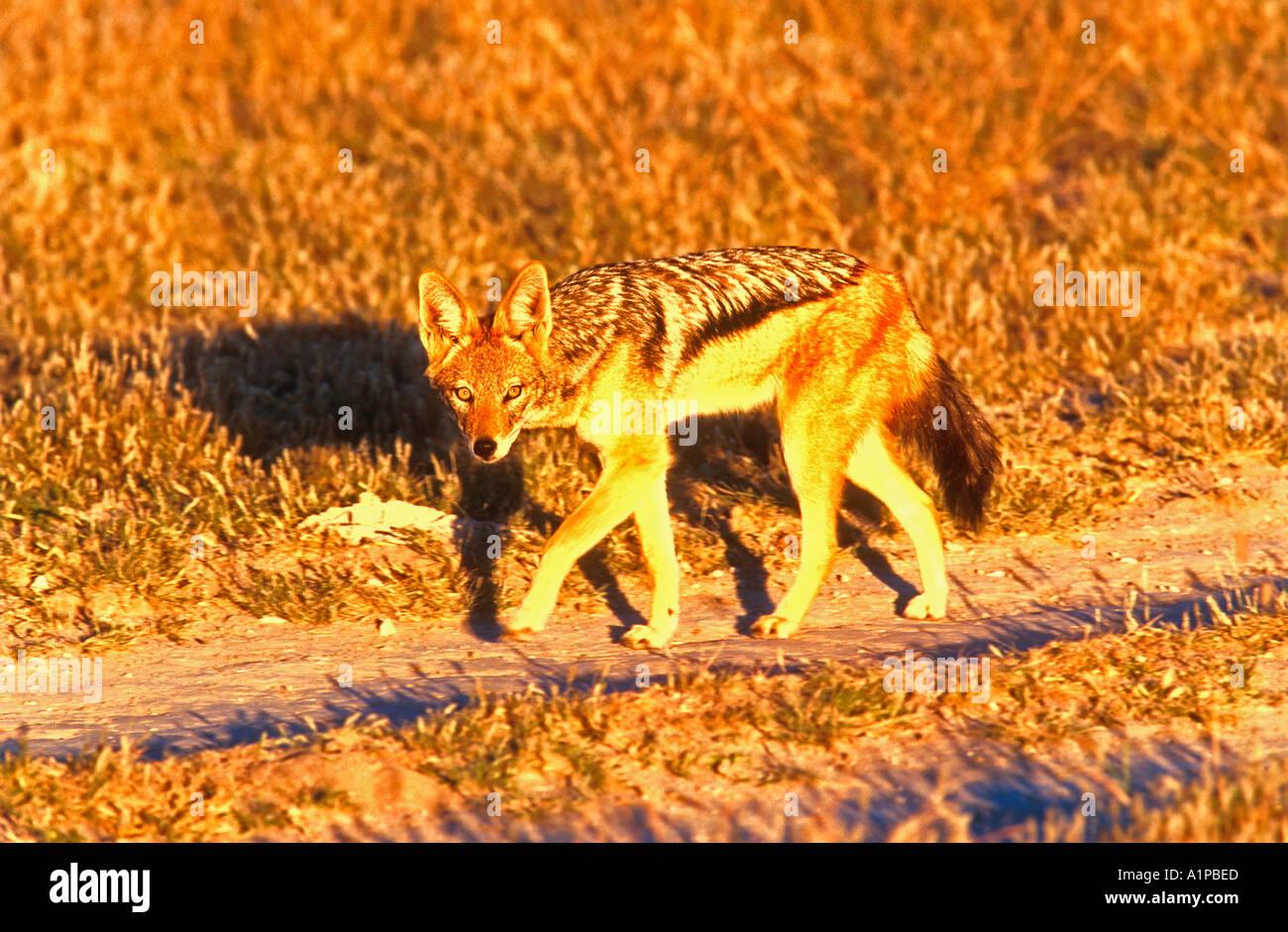 Black backed jackal Central Kalahari Game Reserve Botswana - Stock Image