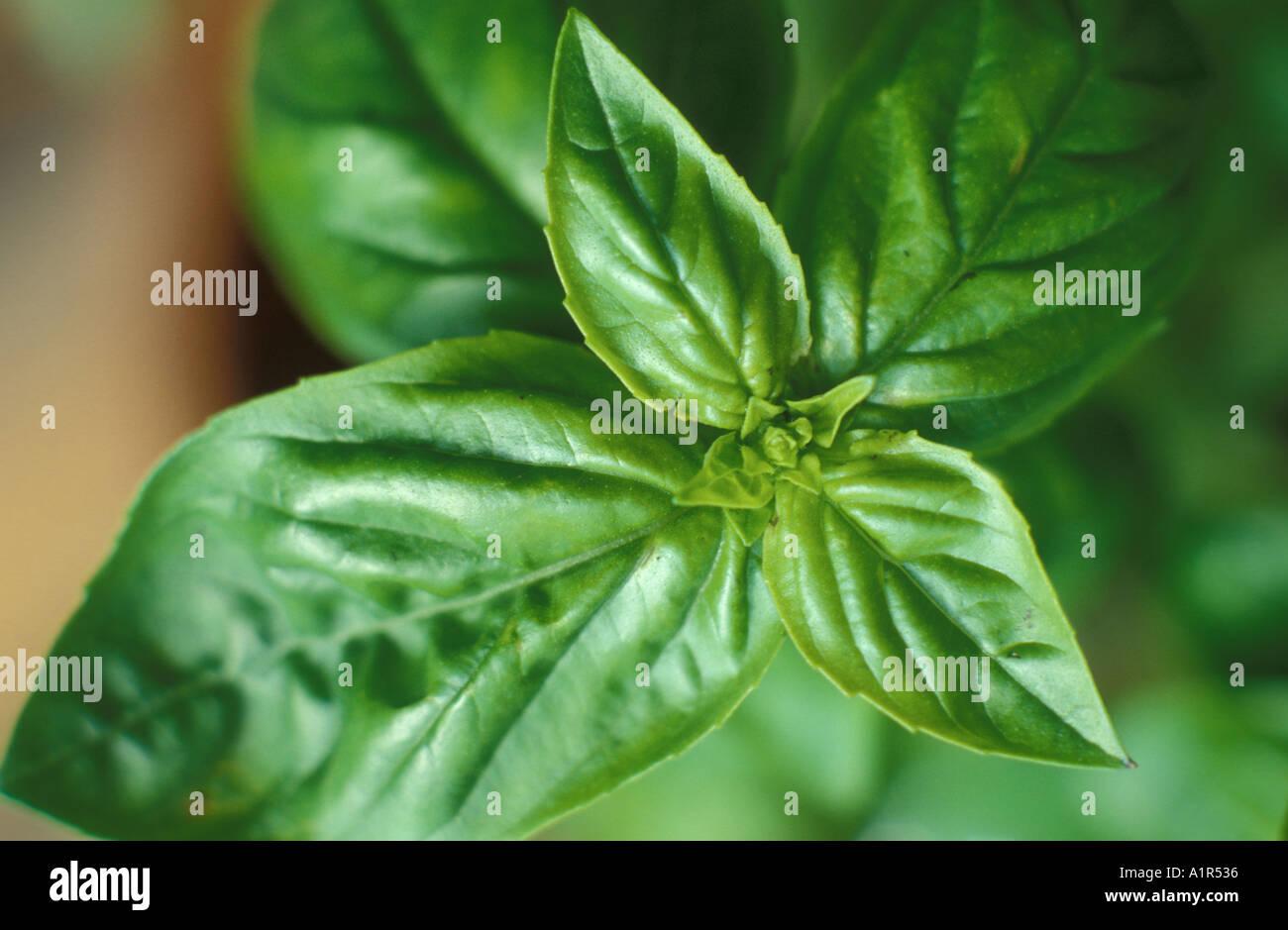 Basil - Stock Image