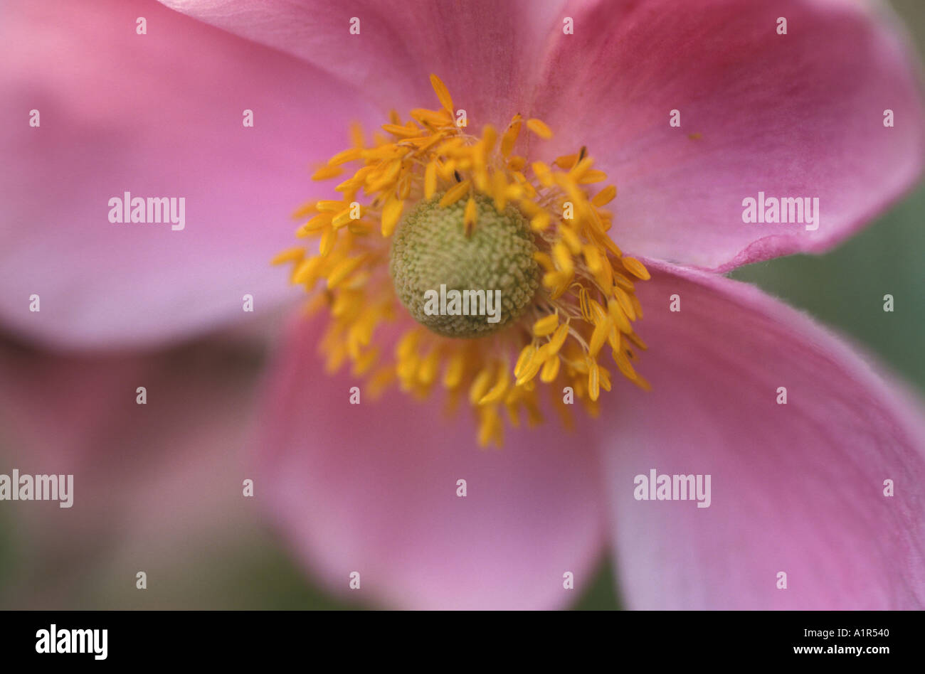 Pink blossom, close-up - Stock Image