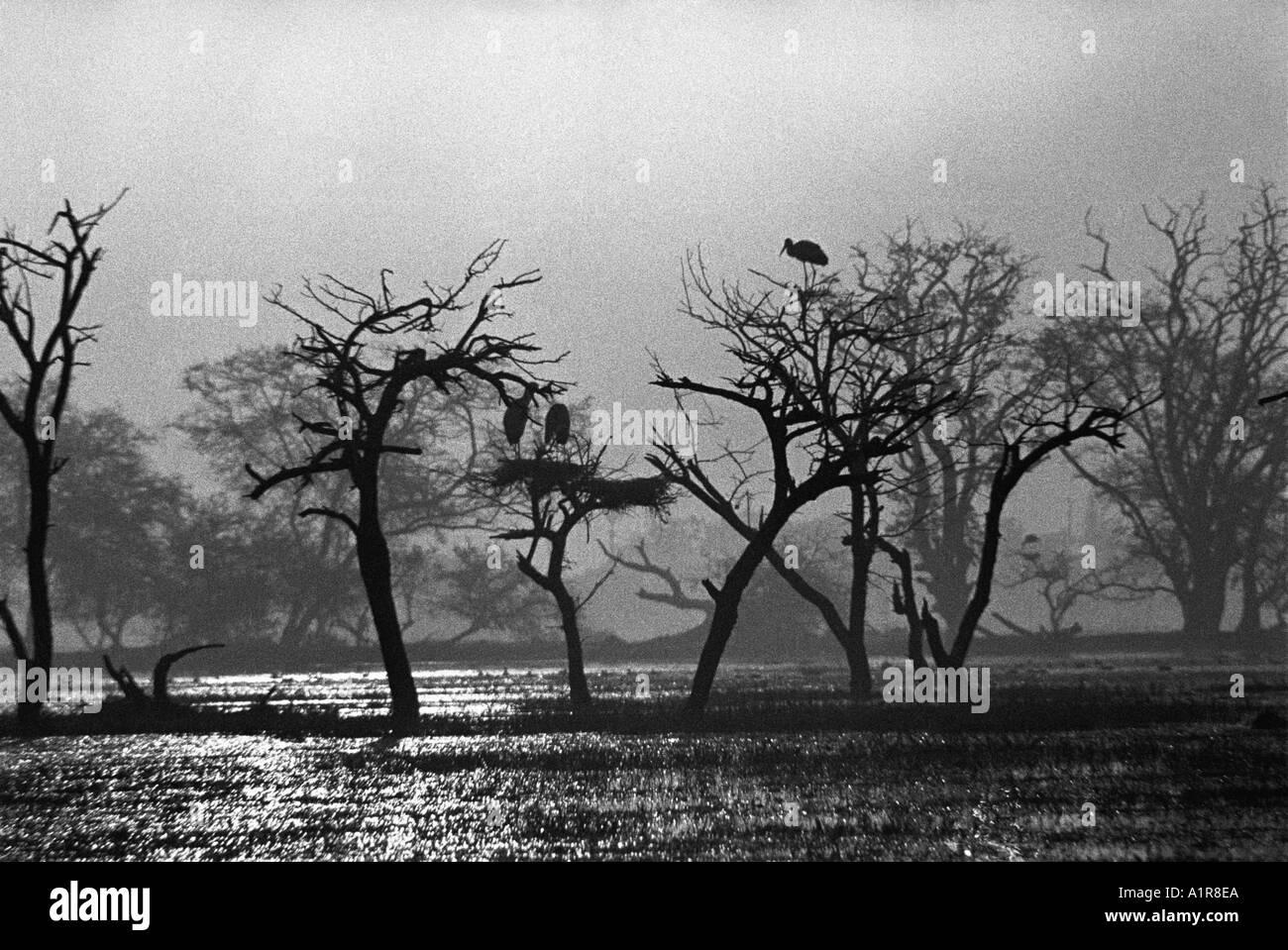 birds nesting on trees in swamp at Sunrise at Bharatpur Keoladev Bird Sanctuary Rajasthan India - Stock Image