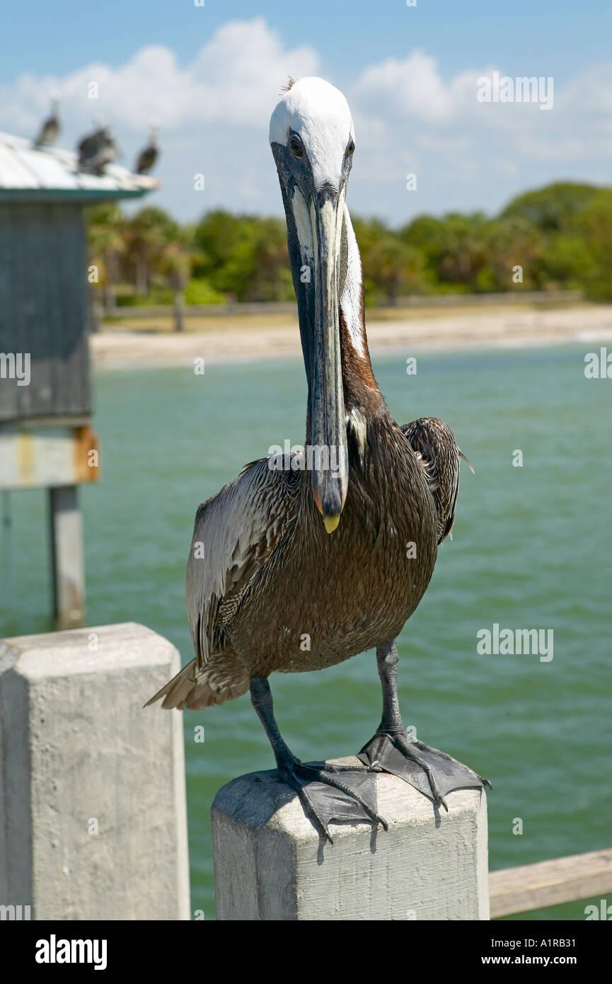 Pelican on pier of Fort Desoto Park St Petersburg Florida USA Stock Photo