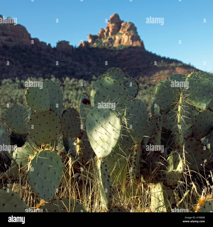 Dramatically morning lit group of prickly pear cactus in canyon Sedona Arizona USA - Stock Image