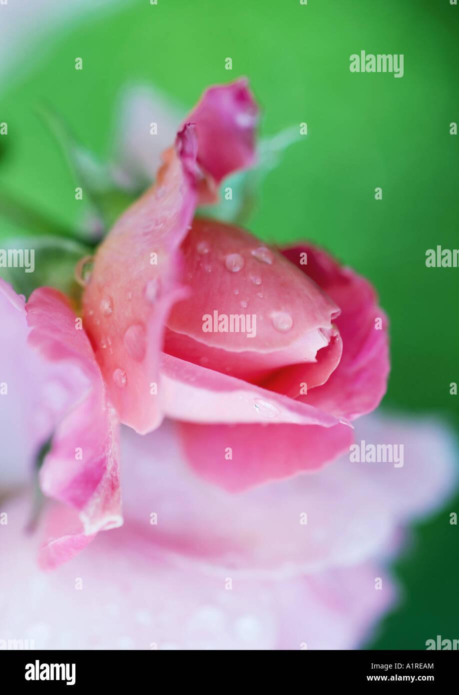Wet rosebud - Stock Image
