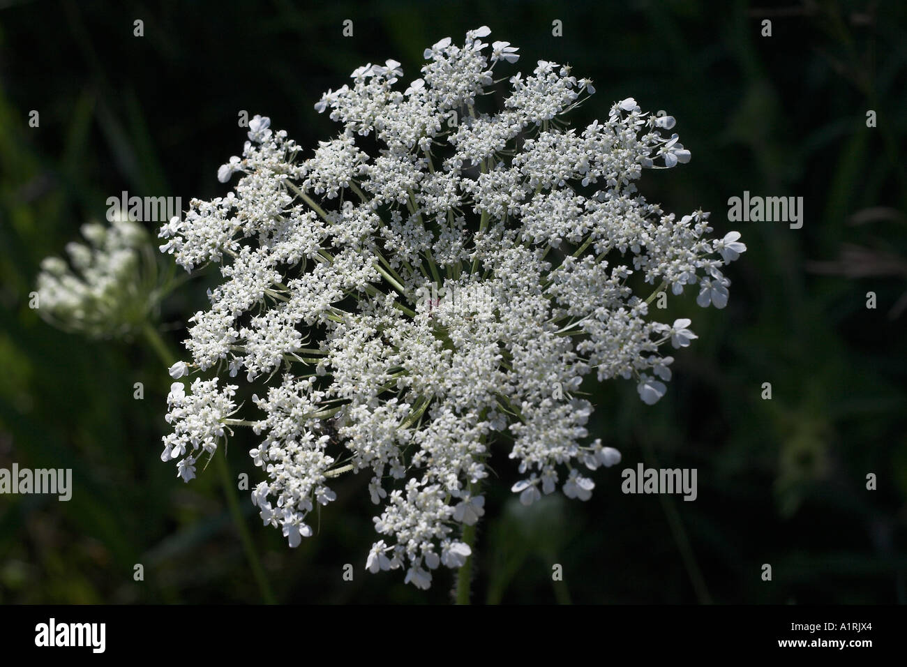 Queen Anne's Lace: The lacy white florets of a flower of Queen Anne s Lace or Wild Carrot or Daucus carota - Stock Image