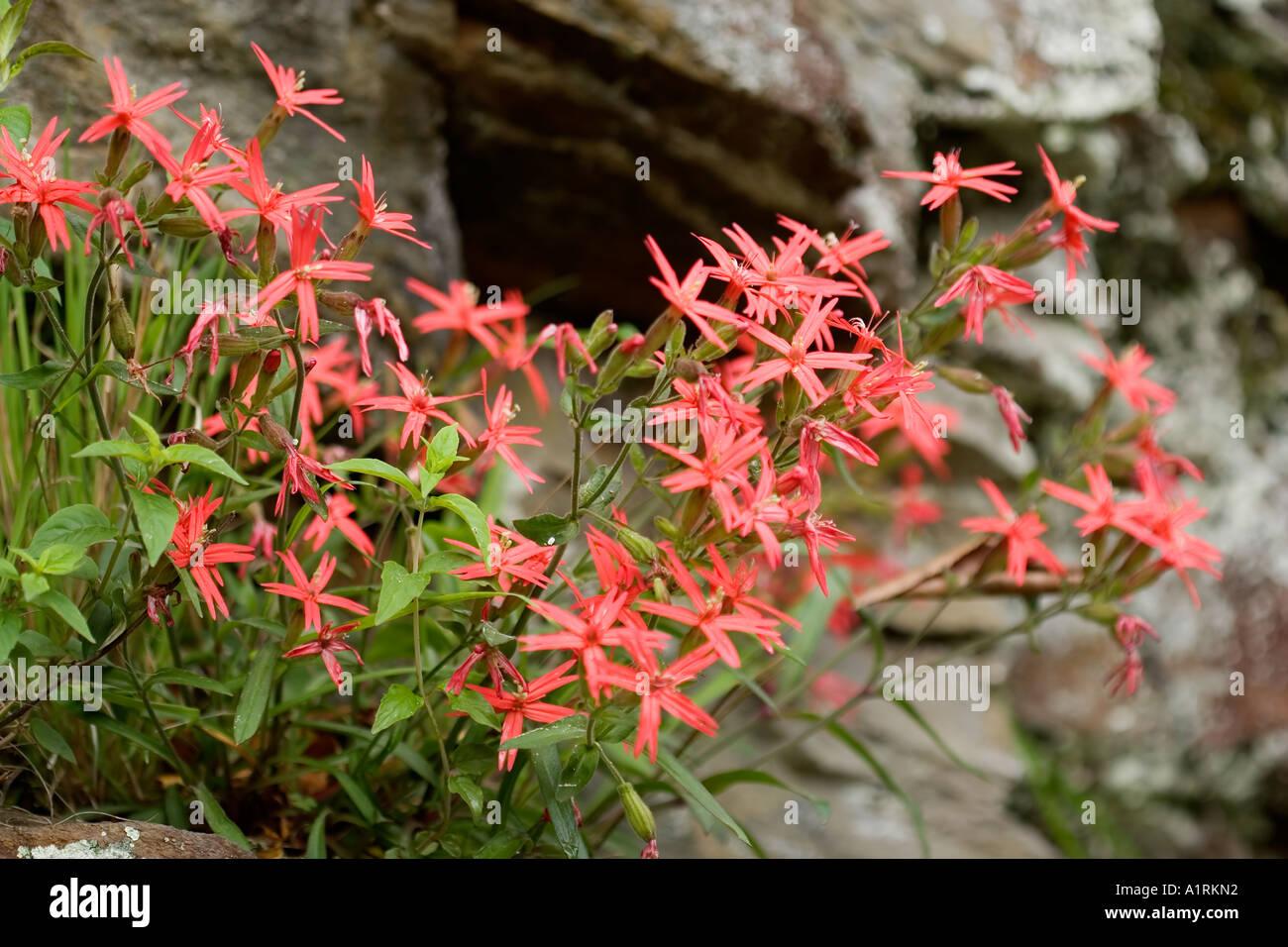 Fire Pink Silene Virginica Stock Photo 5897617 Alamy