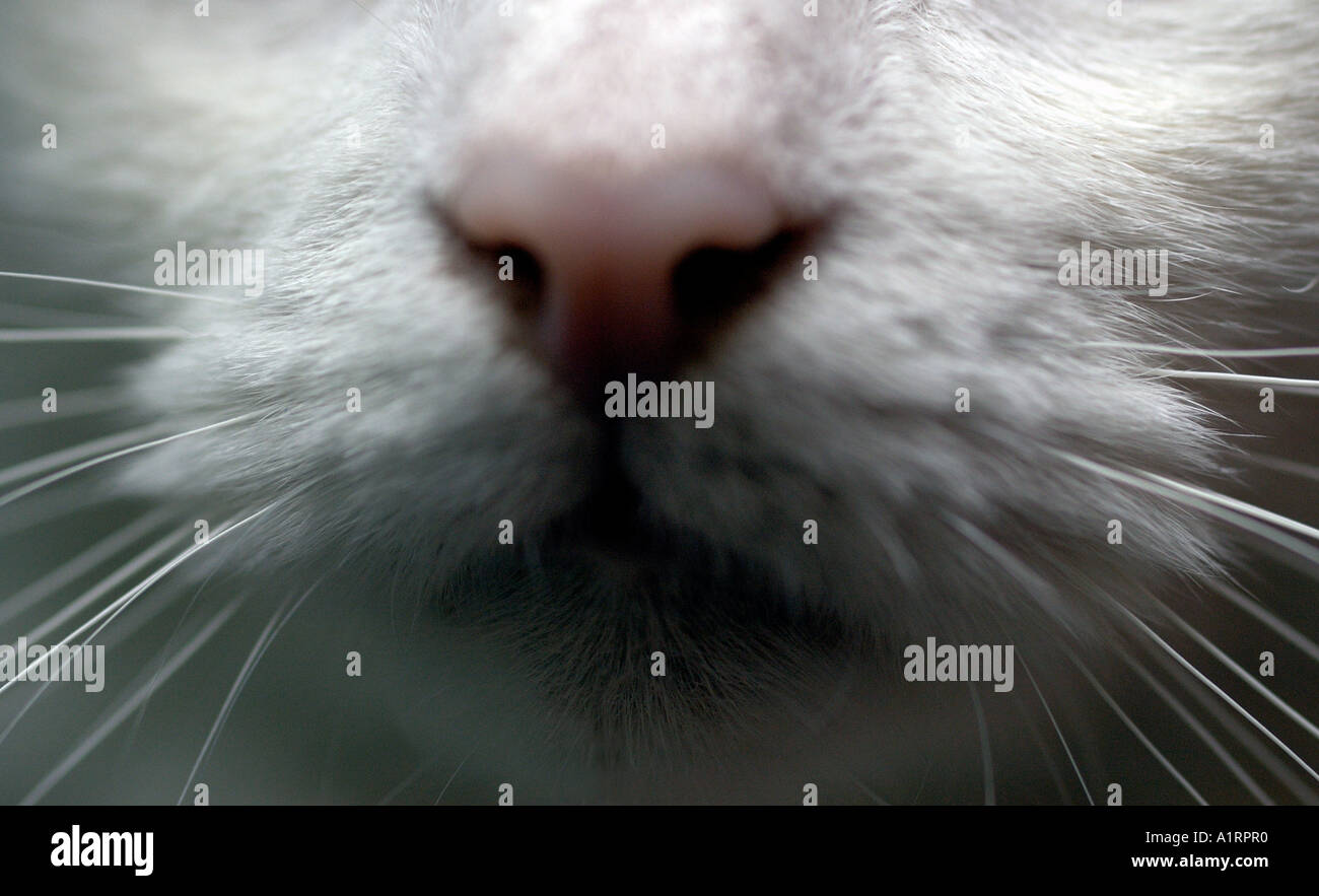 Cat in window, white cat, kitty, pussycat, content, little, cute, playful, animal, housepet, House cat, tom cat, - Stock Image