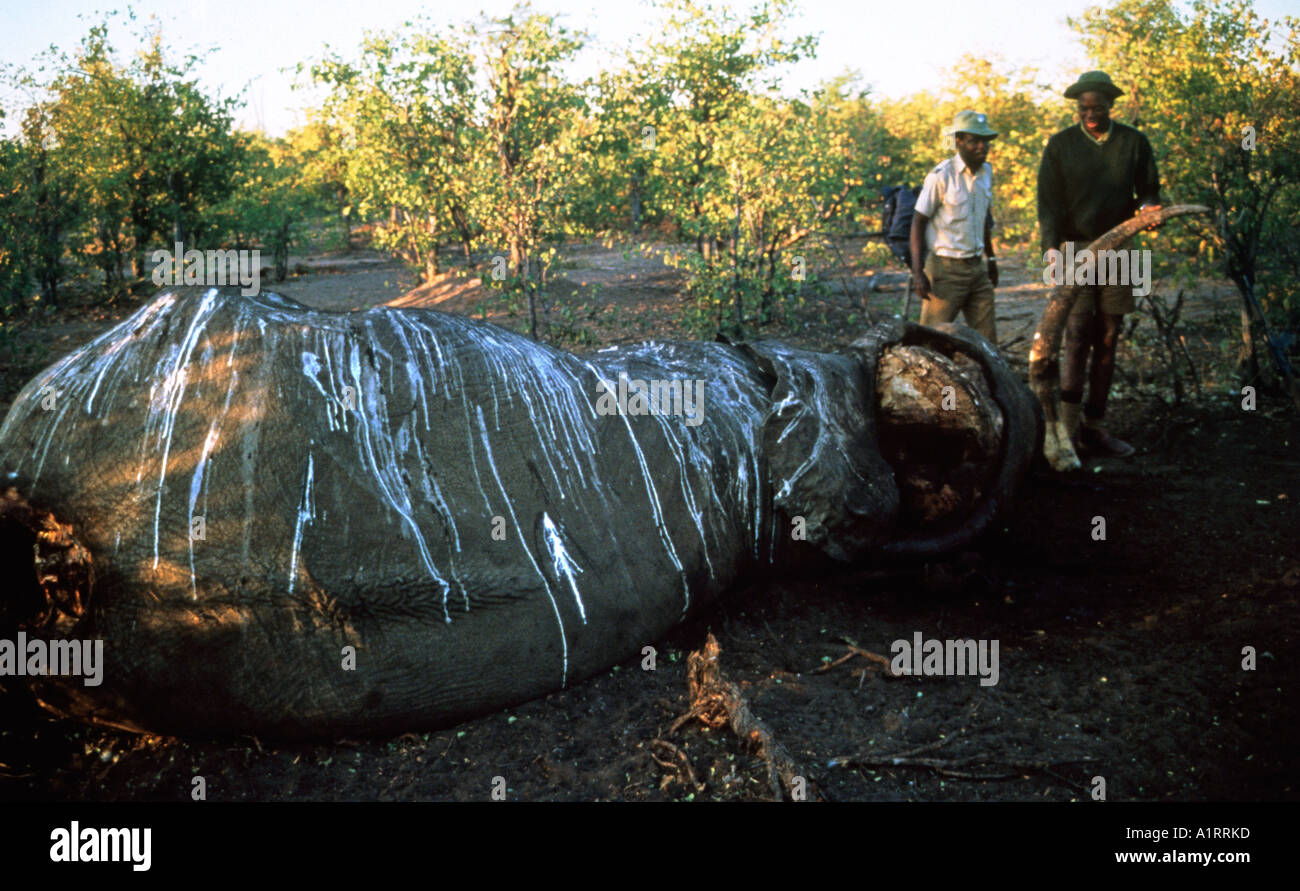 Game warden inspects the carcass of an Elephant killed by poachers Zimbabwe - Stock Image