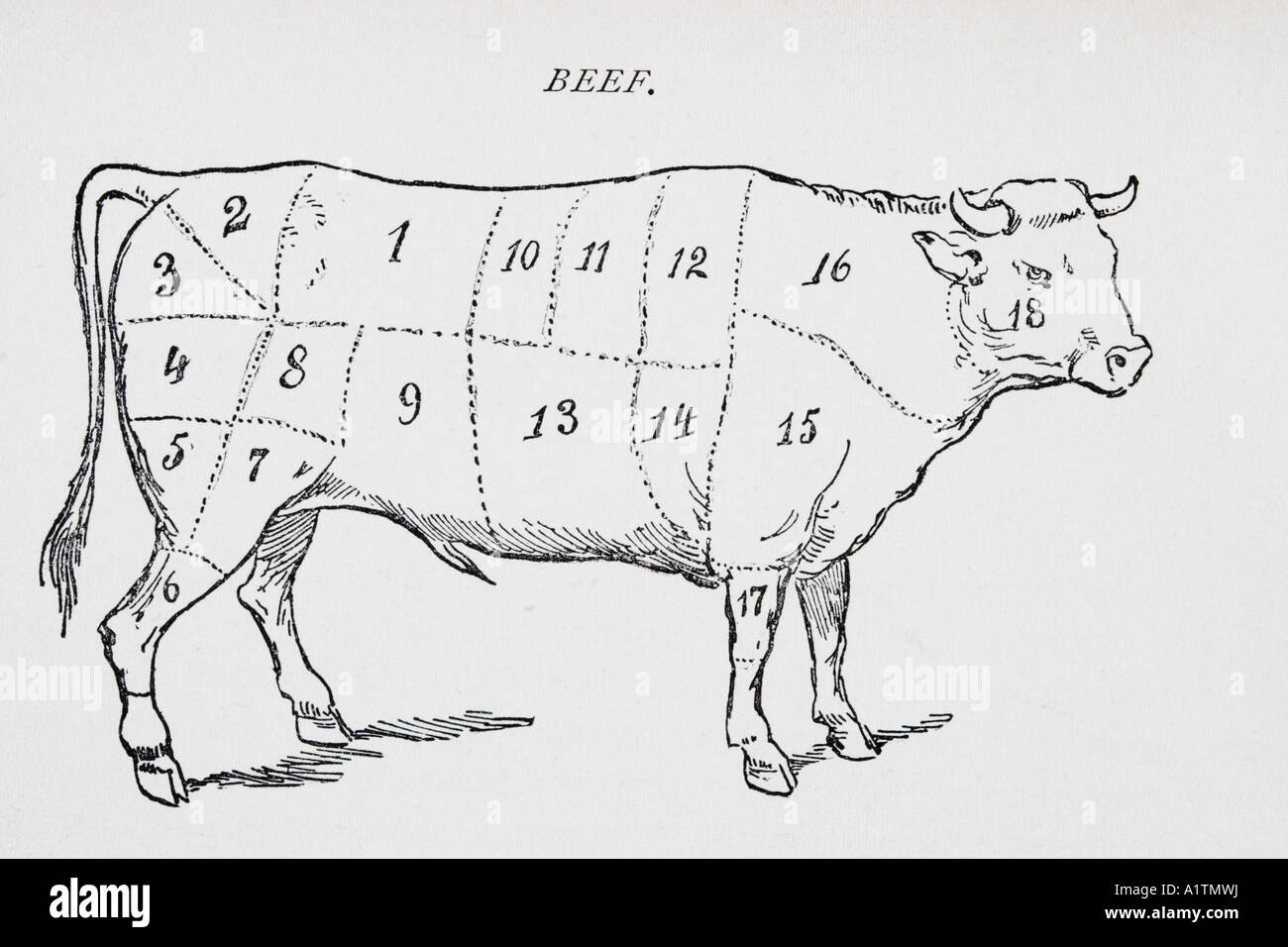 Drawing of bullock marked to show 18 different cuts of meat - Stock Image