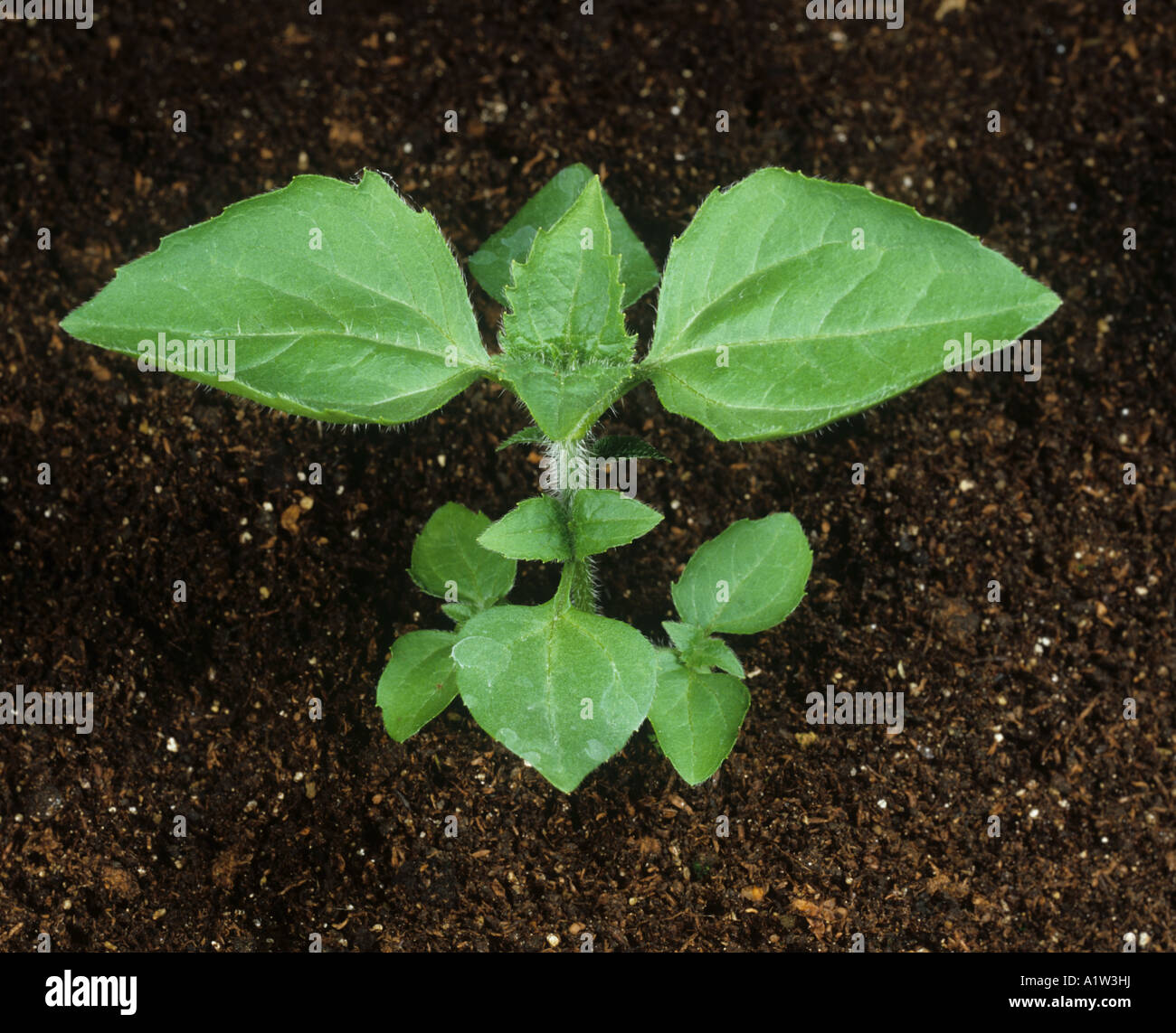 Gallant Soldier Galinsoga parviflora young plant - Stock Image