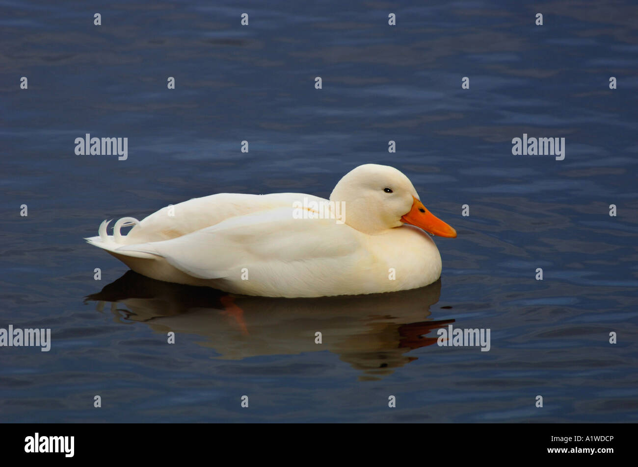 Aylesbury Duck Floating & Swimming,Gets Its Name From Aylesbury In Buckinghamshire, Where It Was first Bred - Stock Image