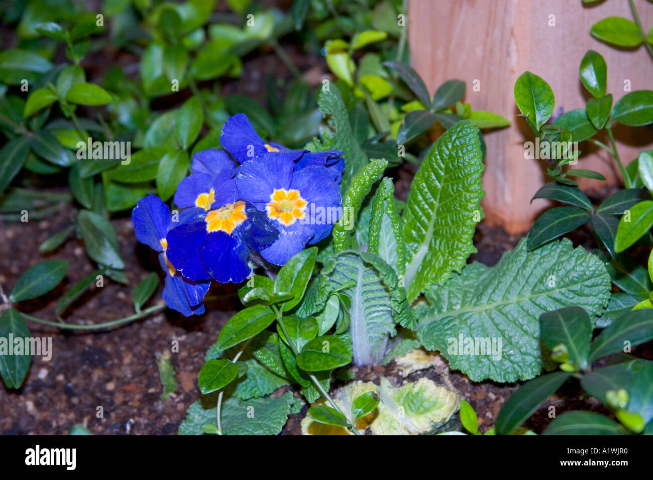 Blue Flowers With Blue Petals And Yellow And White Centers Stock
