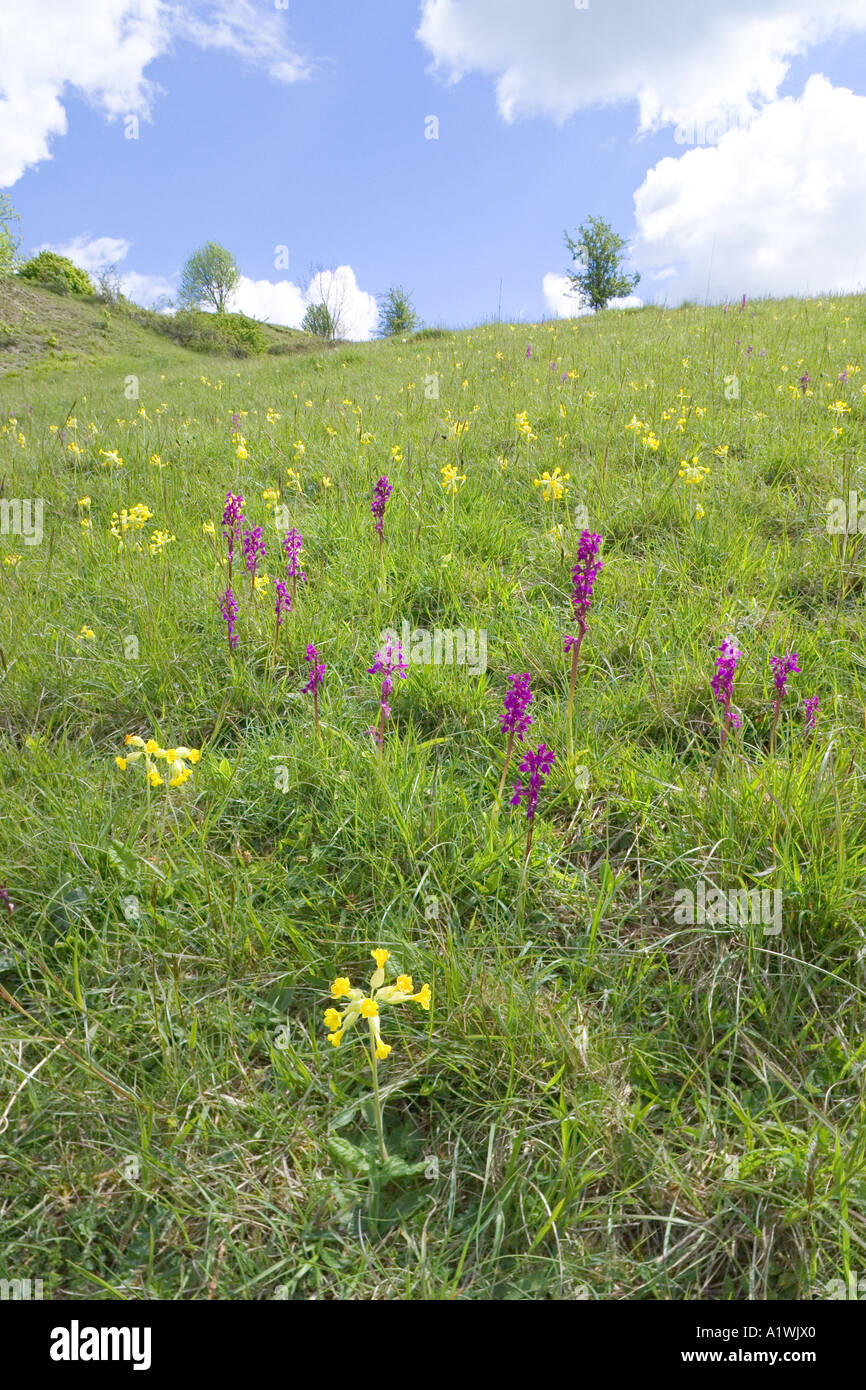Orchids and cowslips on Elliott (Swift's Hill) Nature Reserve near Slad, Gloucestershire - Stock Image