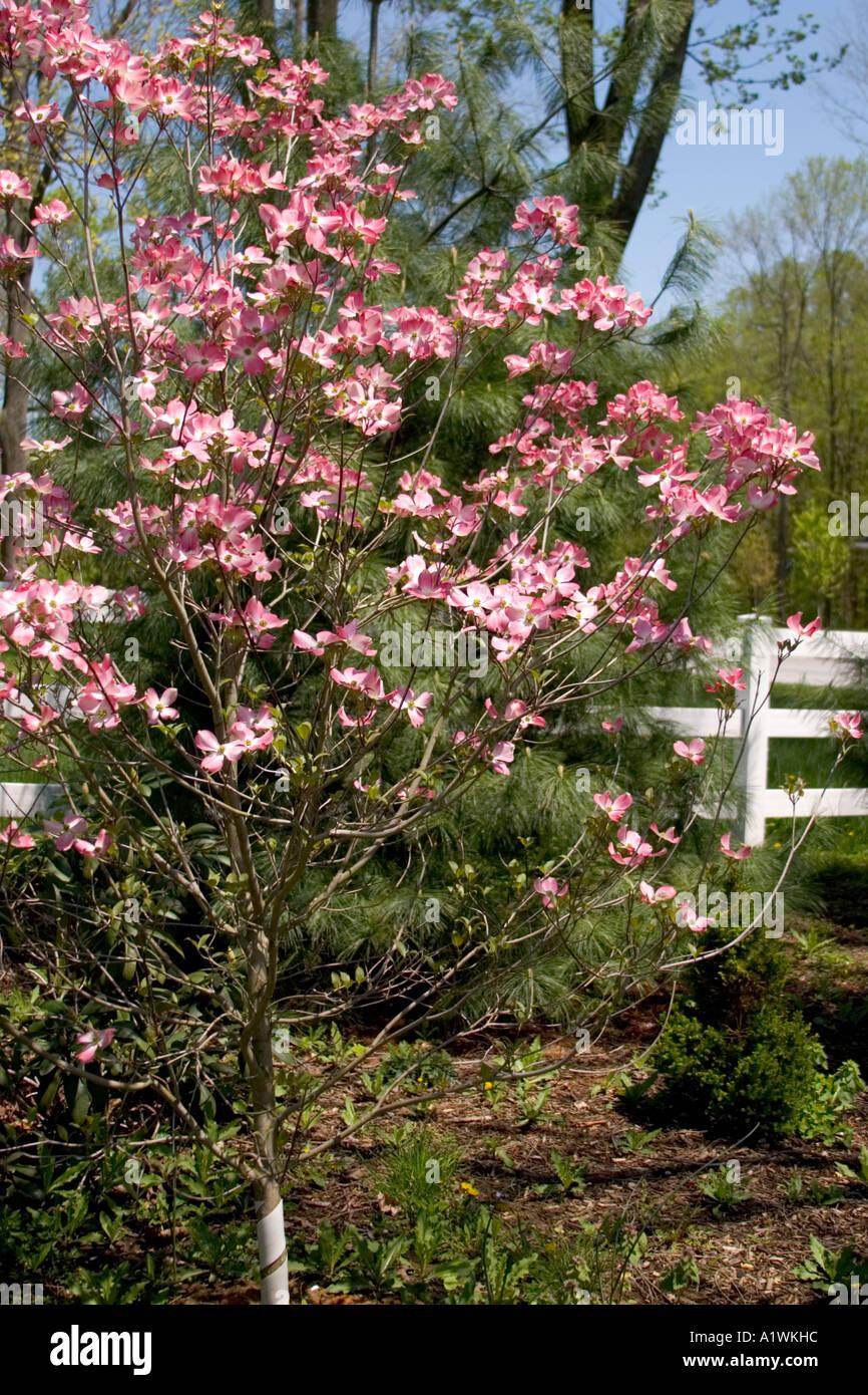 Pink Flowering Dogwood Cornus Florida In The Pennsylvania Spring