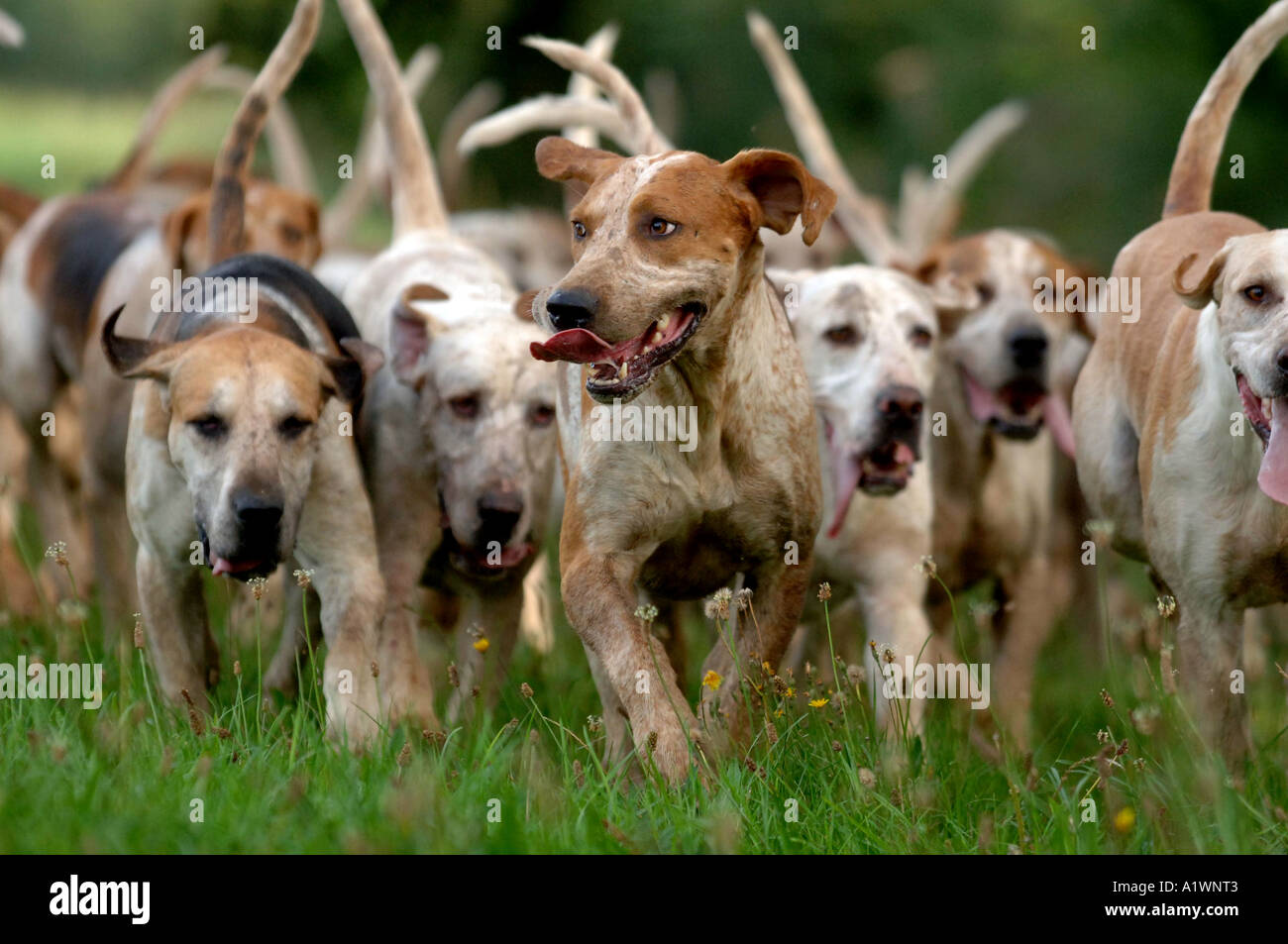 English fox hound pack on grass - Stock Image
