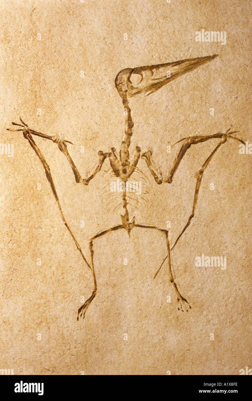 Pterodactyl Pretodactylus spectabilis fossil Upper Jurassic from Western Germany - Stock Image