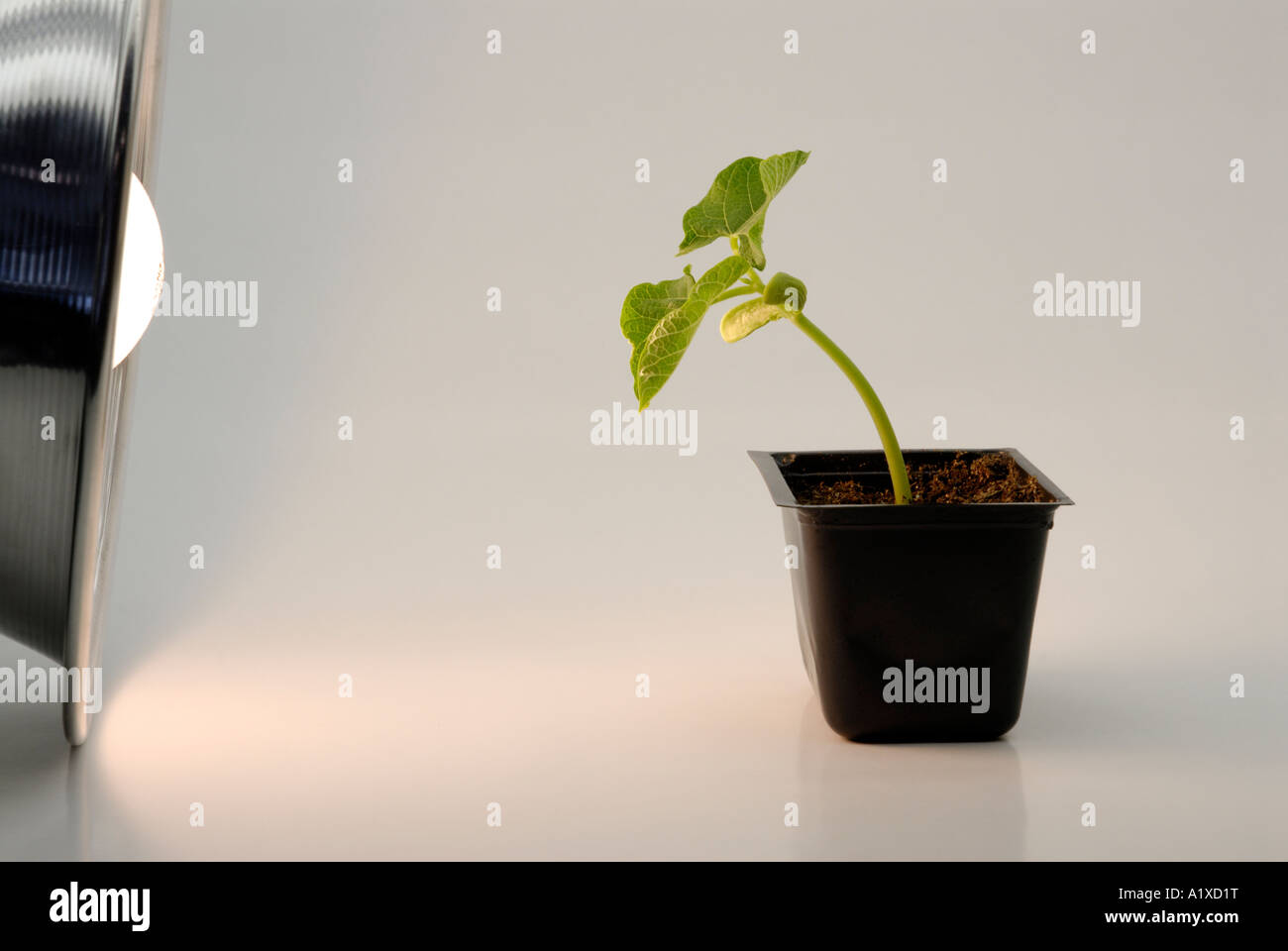 Bean seedling bends towards light source - phototropism - Stock Image