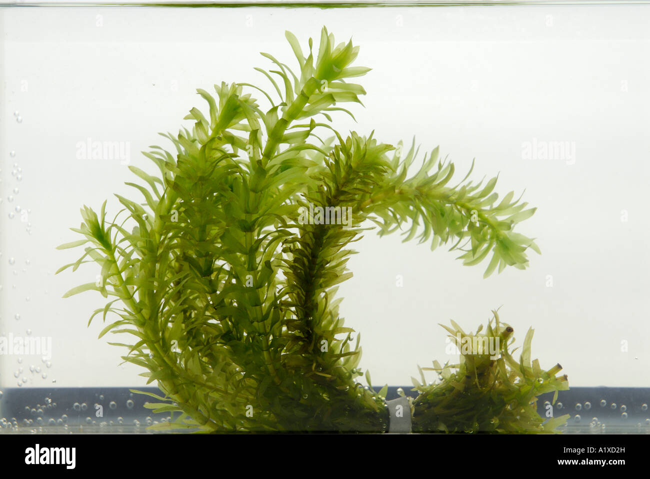 Aquatic plant, Elodea - Stock Image