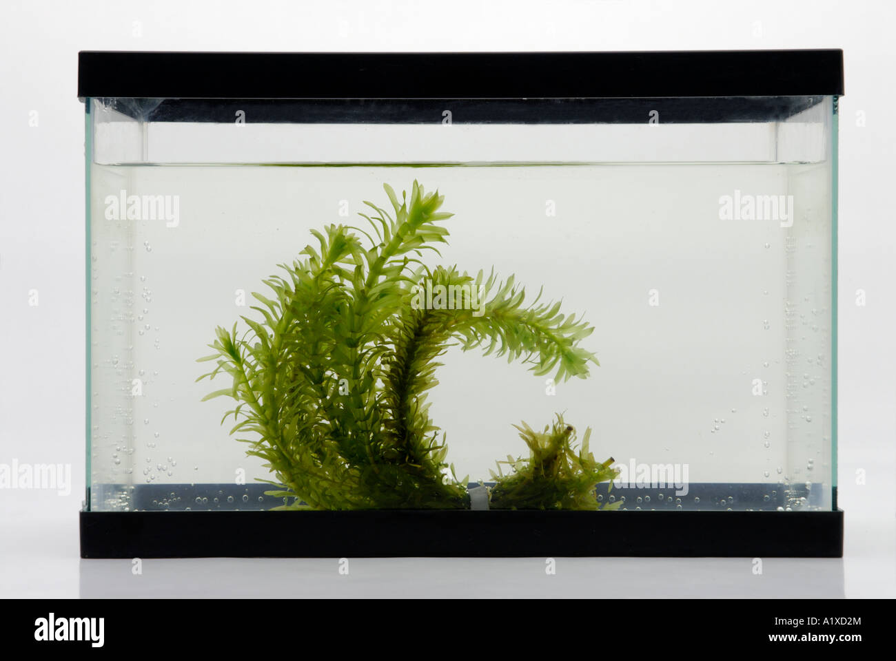Aquatic plant in aquarium tank - Stock Image