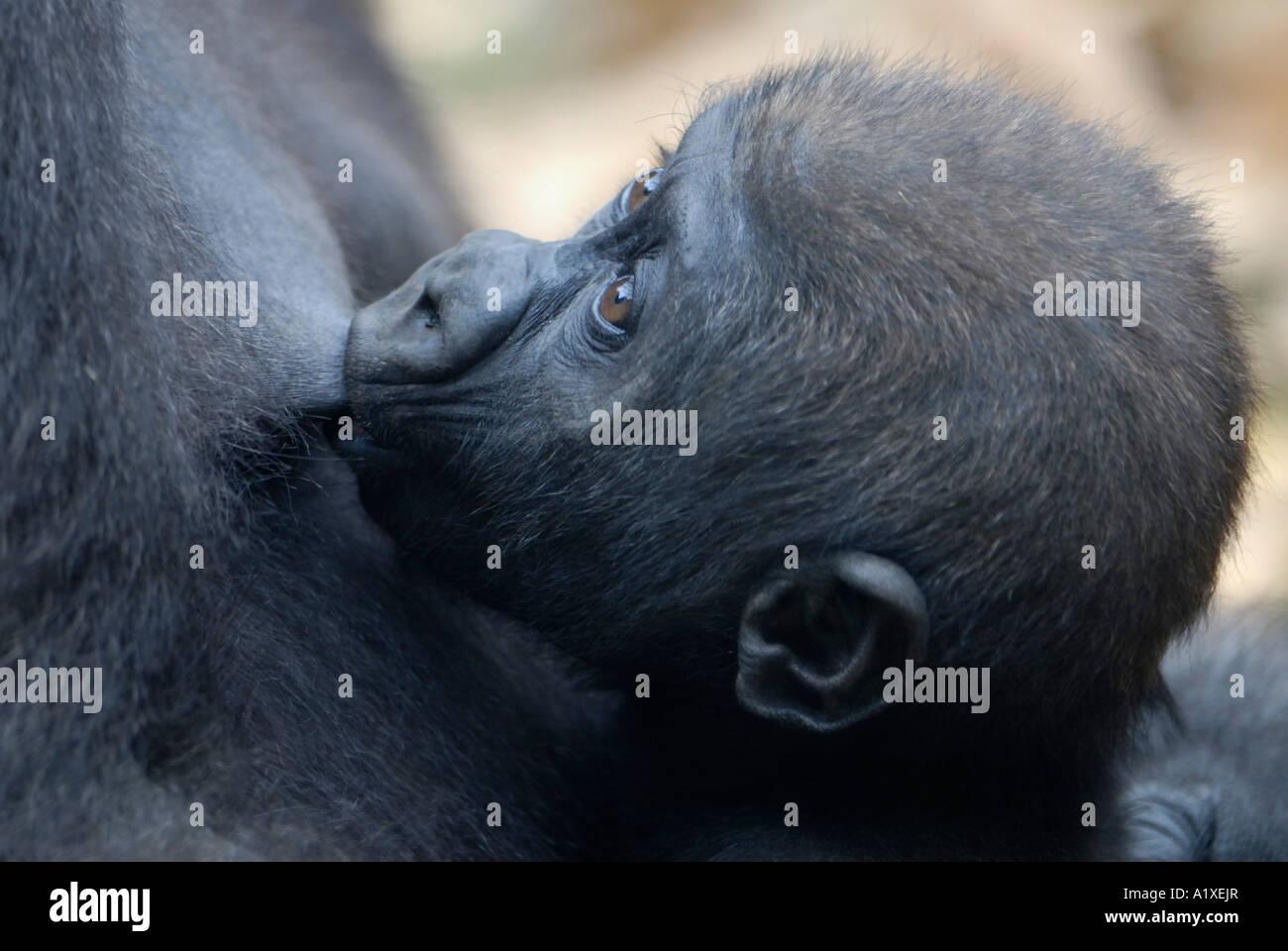 Baby gorilla nursing close up closeup - Stock Image