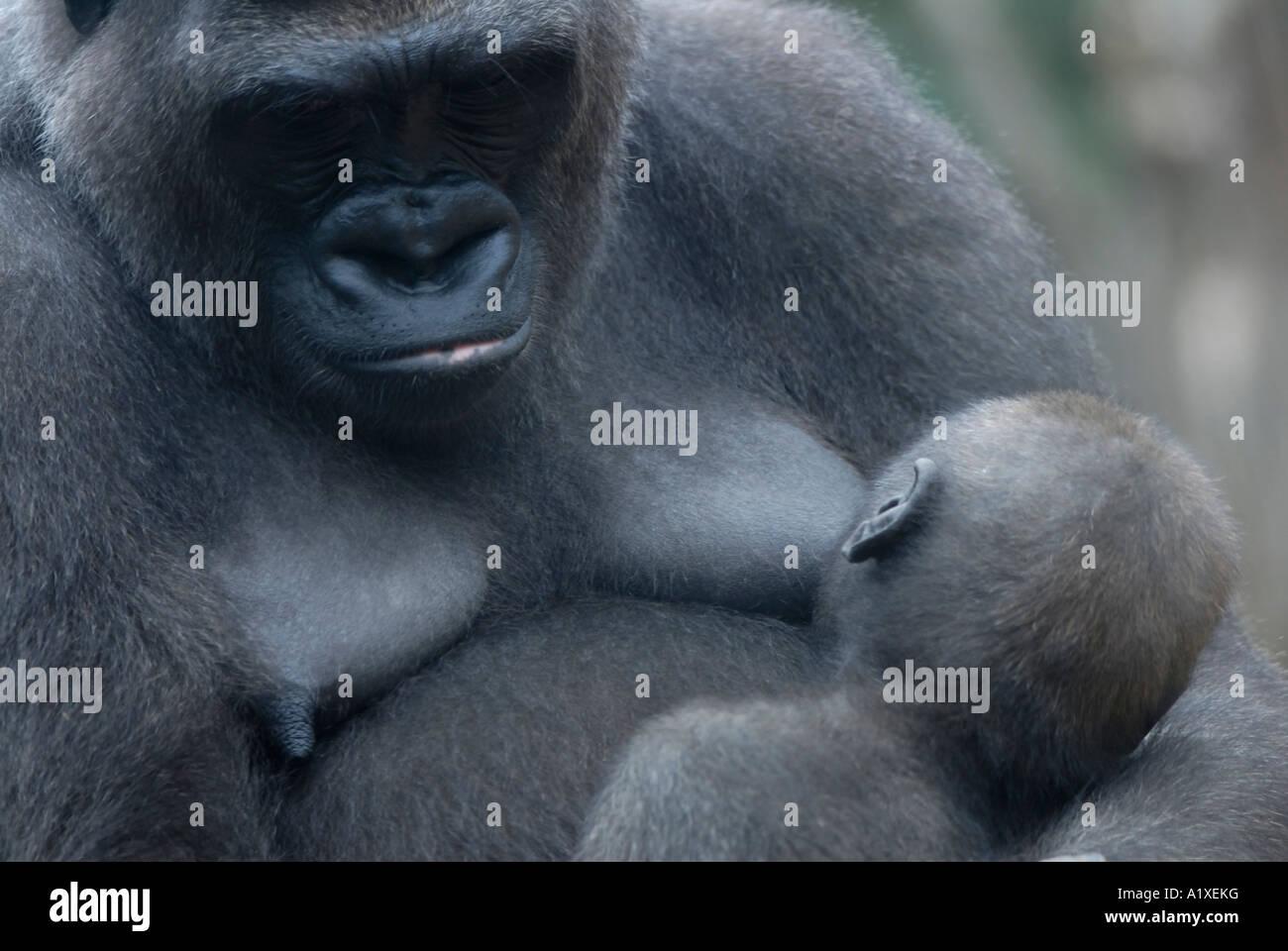 Baby gorilla nursing - Stock Image