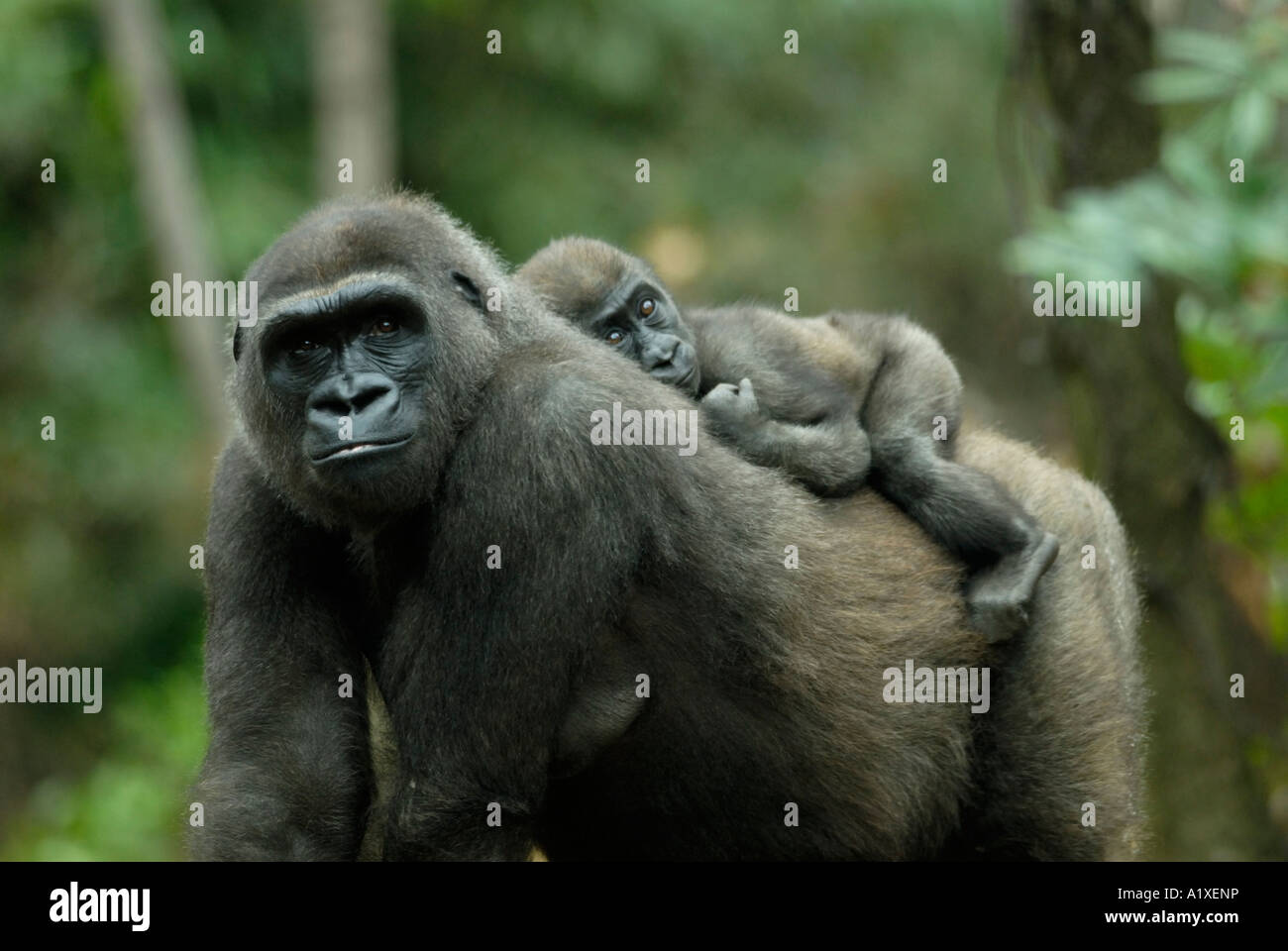 Mother gorilla with baby riding on her back - Stock Image