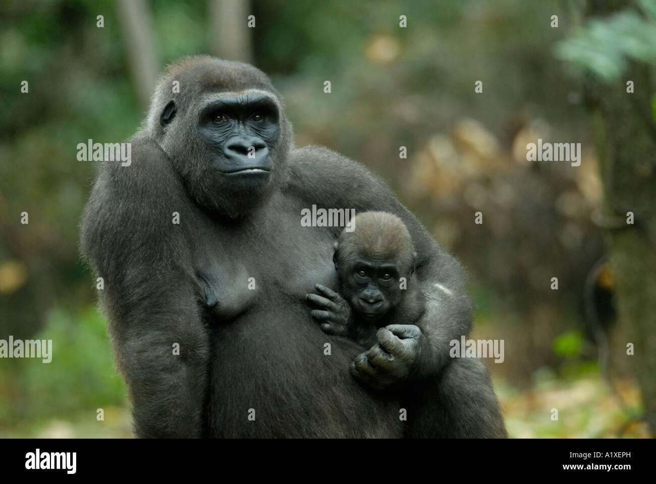Mother gorilla holding carrying her baby - Stock Image