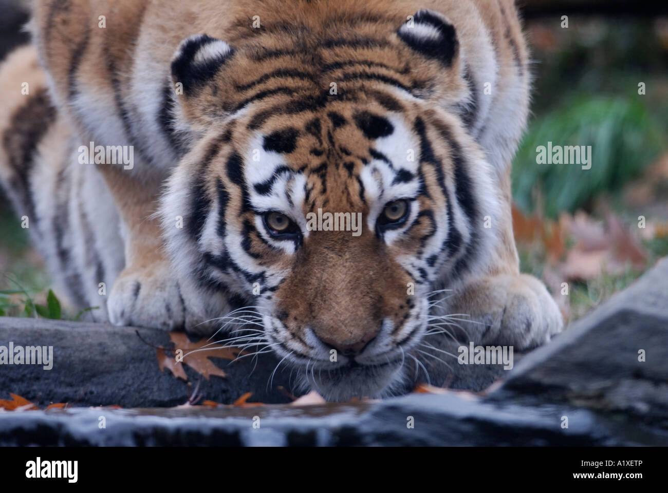 Siberian Tiger drinking - Stock Image
