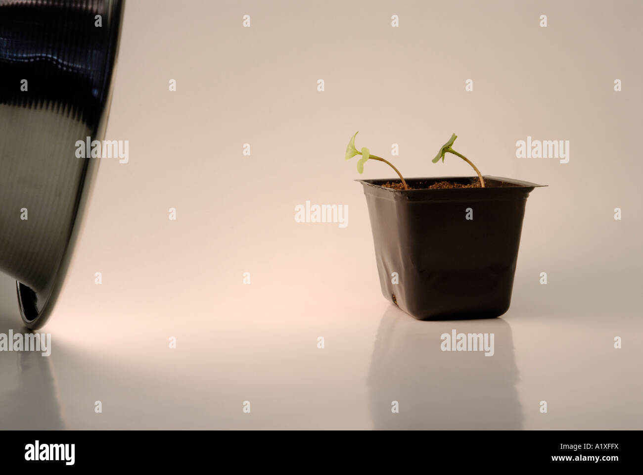 Phototropism, phototropic response in Raphanus seedlings - Stock Image