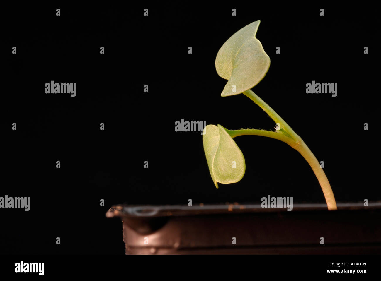 Phototropism, phototropic response in Raphanus seedling - Stock Image