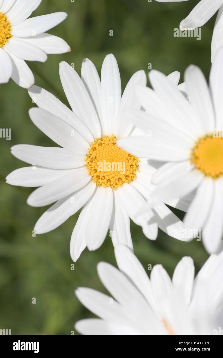 Happy White Daisy Like Flowers Stock Photo 3377533 Alamy