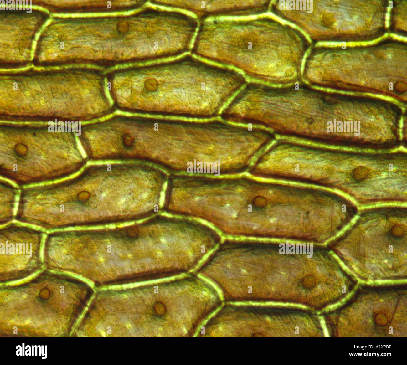 Onion Skin Cells  Epidermal Cells  Shows Cell Structure