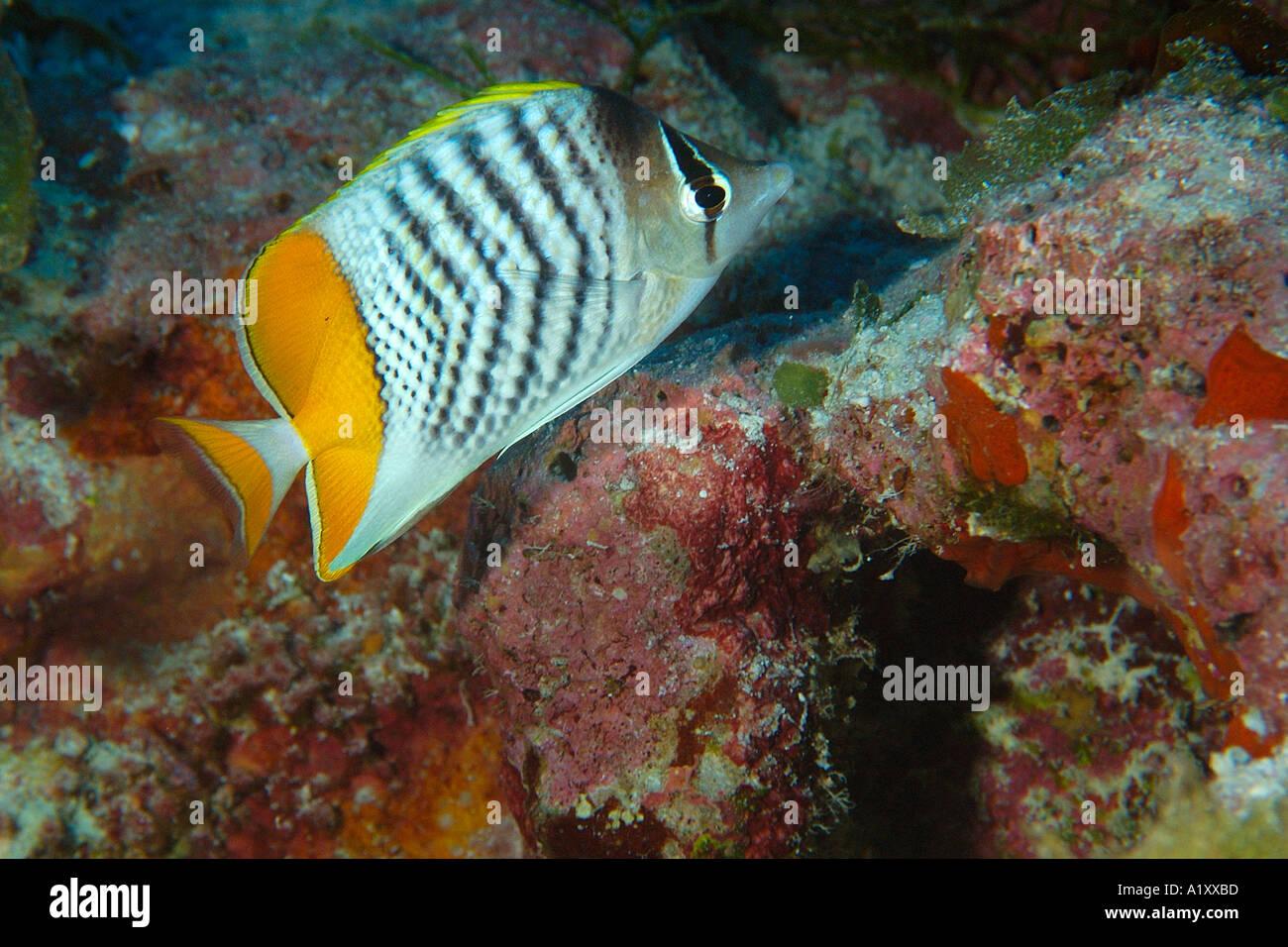 Yellowback Merten s butterflyfish Chaetodon mertensii Namu atoll Marshall Islands N Pacific Stock Photo