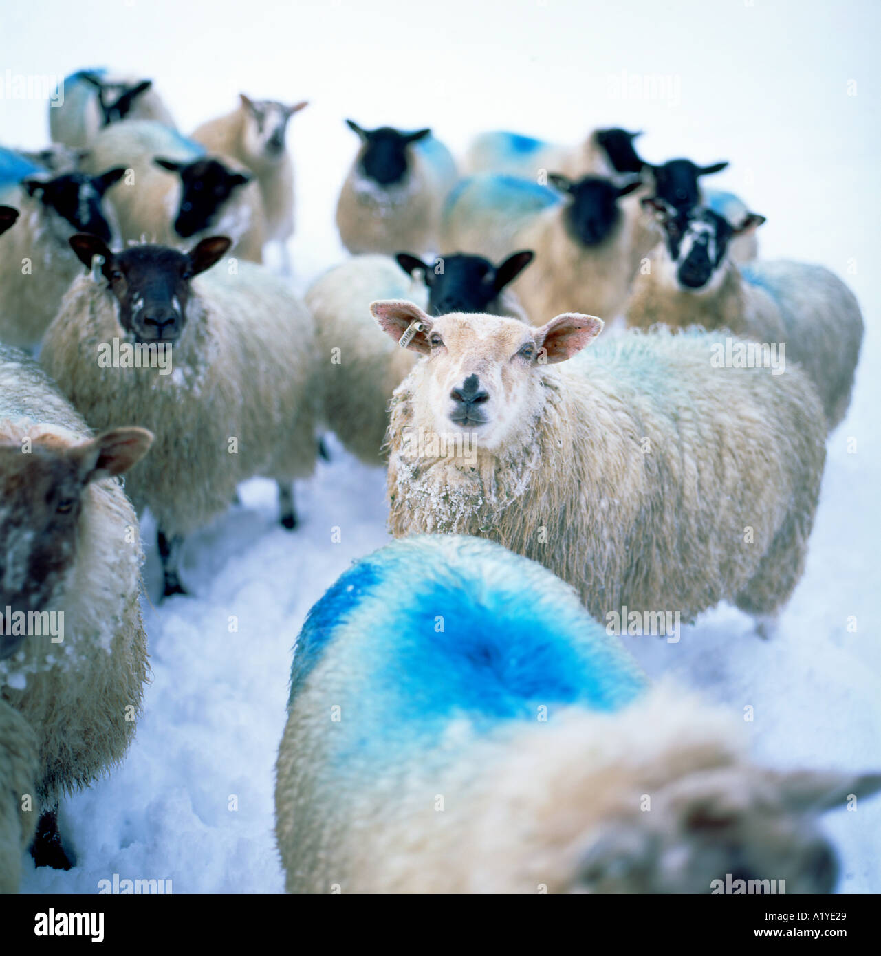 Sheep marked with blue raddle awaiting feeding in snow in winter Llanwrda Carmarthenshire Wales UK   KATHY DEWITT - Stock Image