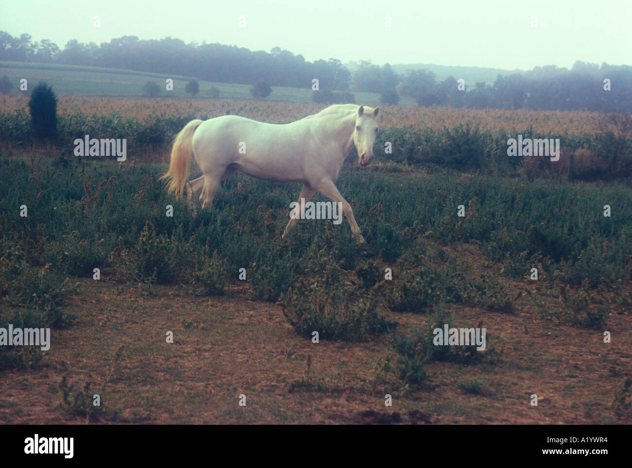 Mysterious White Mystery Horse Early Morning Haze Fantasy Stock Photo Alamy