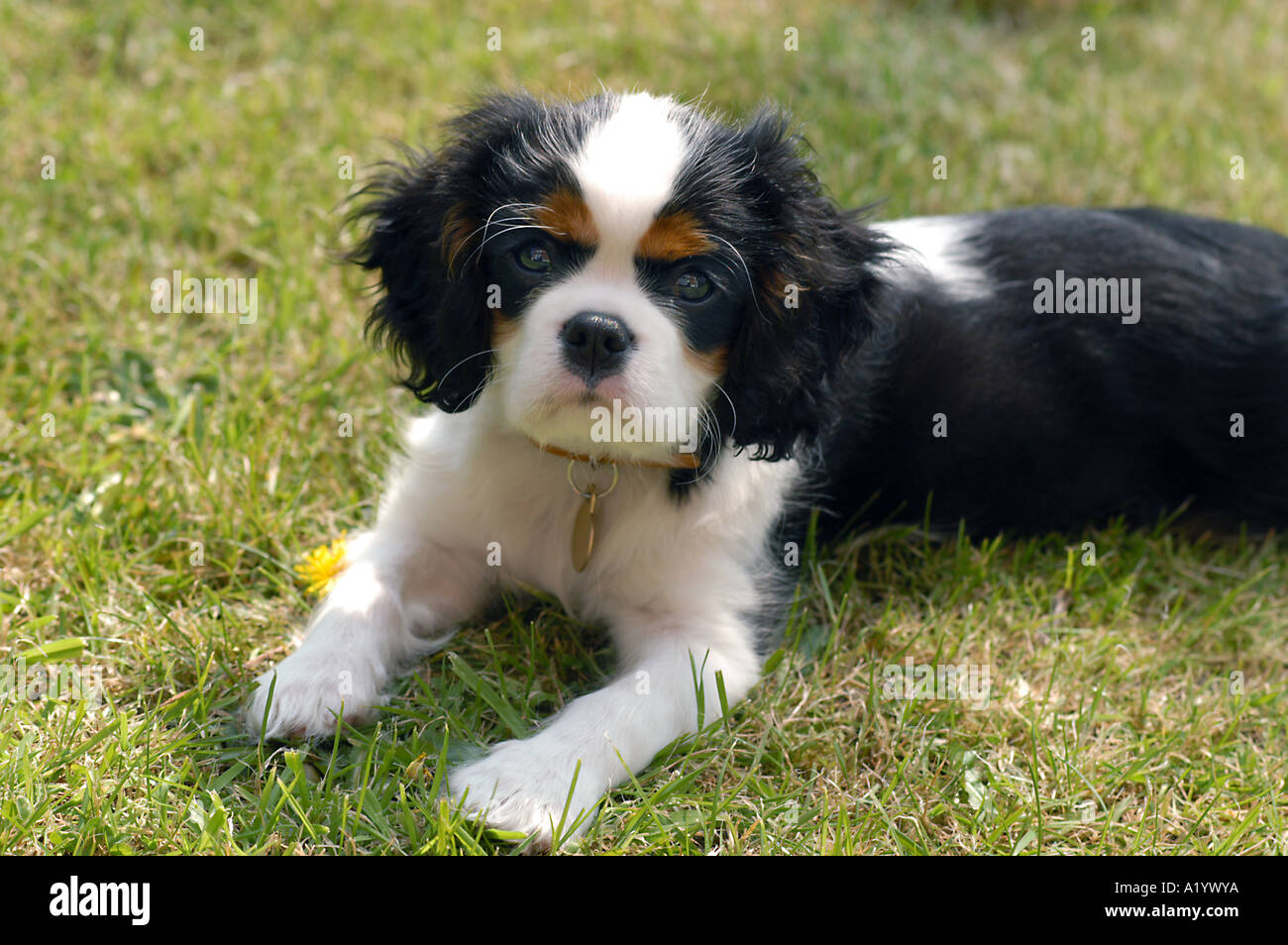 Tricolour Cavalier King Charles Spaniel Puppy 12 Weeks Old Stock Photo Alamy